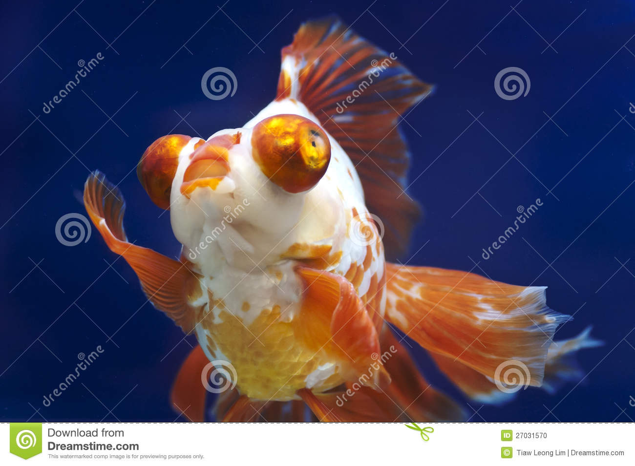 Fish in tank with goldfish - Dragon Eye Goldfish In Fish Tank Stock Photo