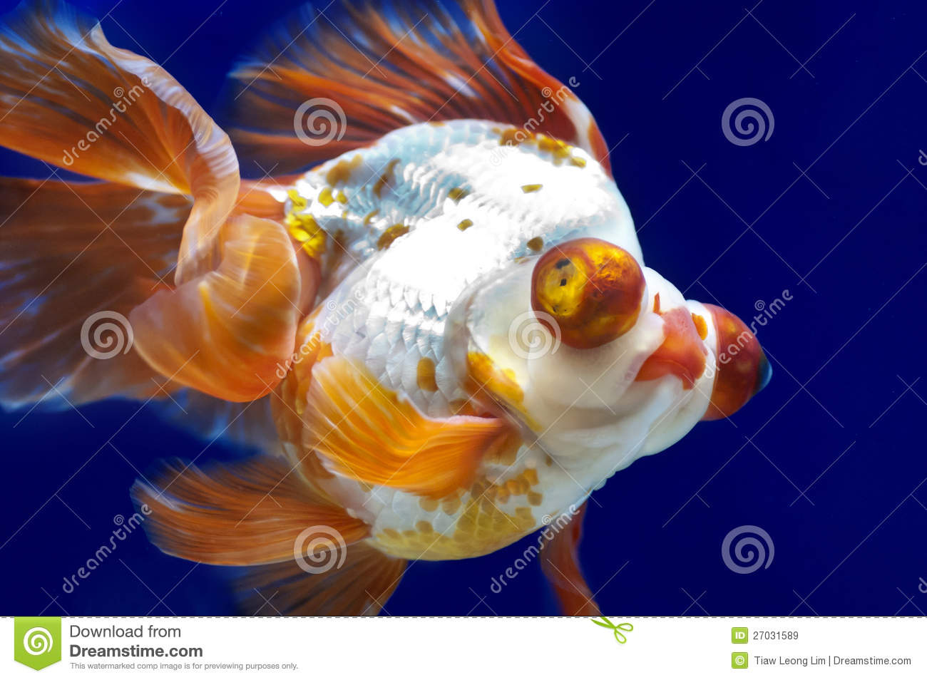 Fish in tank with goldfish - Dragon Eye Goldfish In Fish Tank Royalty Free Stock Images