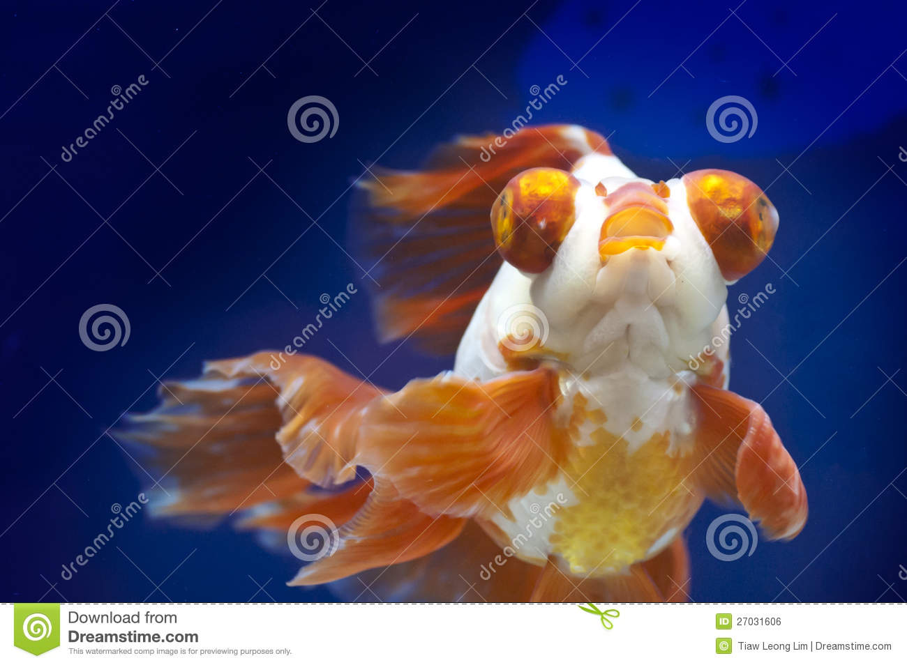 Fish in tank with goldfish - Dragon Eye Goldfish In Fish Tank Royalty Free Stock Image