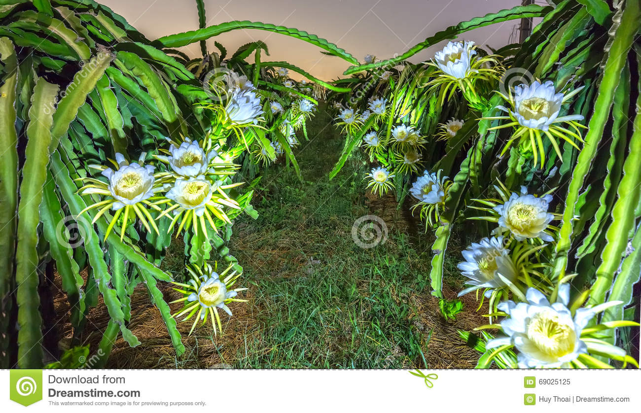 Dragon Flower Garden Bloom At Night Stock Image Image Of Eating