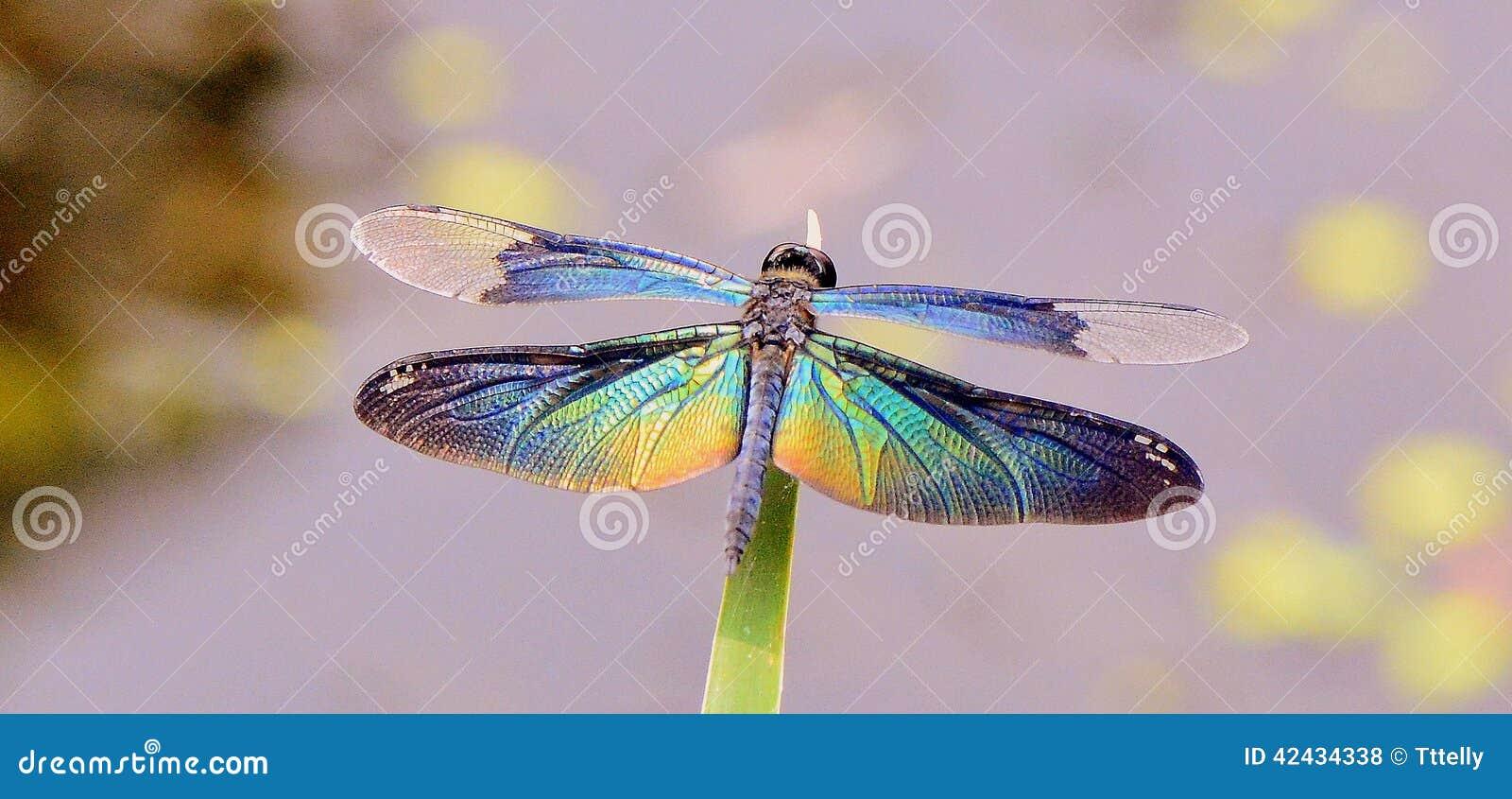 Dragon Fly Stock Photo - Image: 42434338