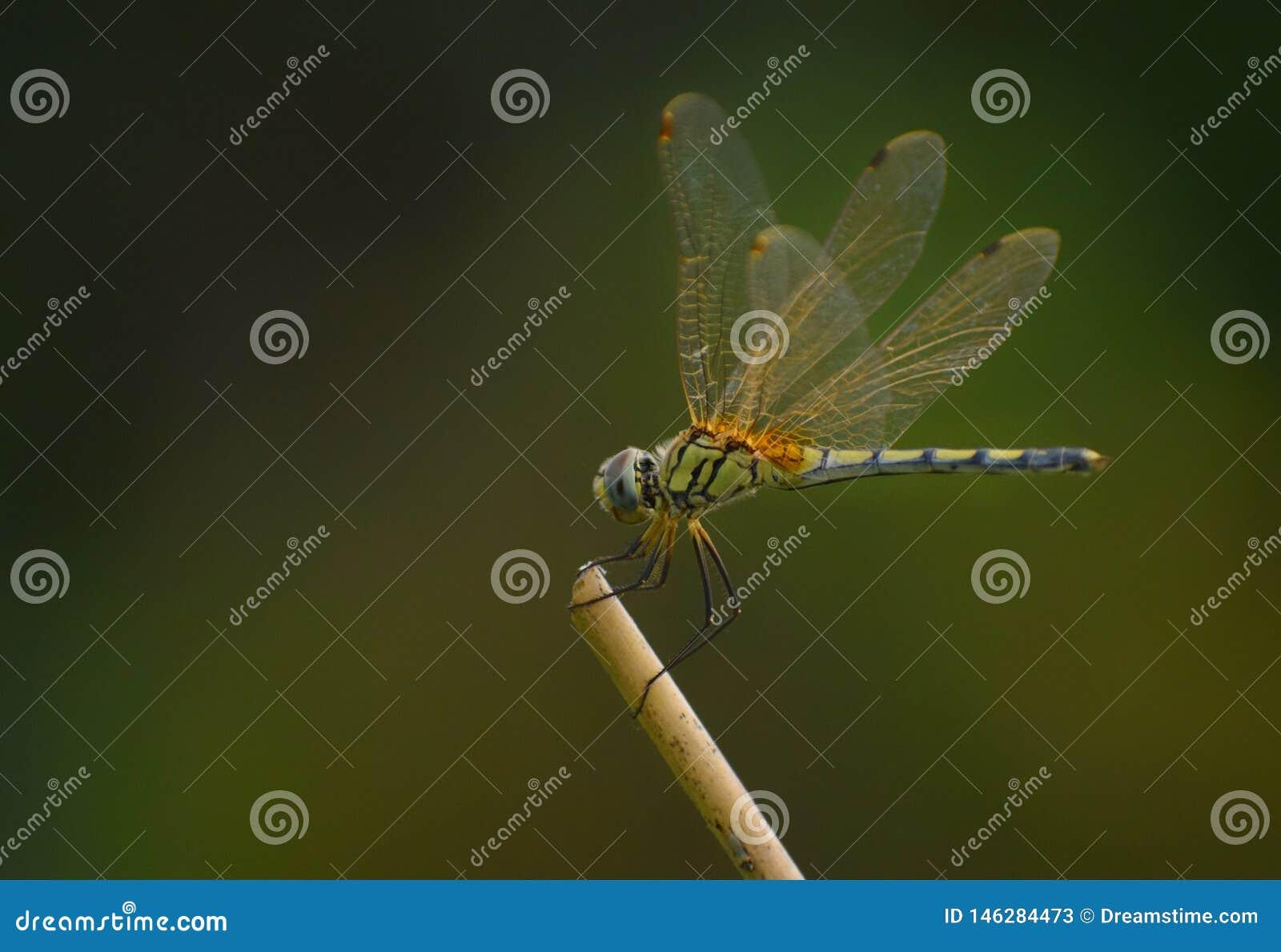 Dragon Fly in een kader