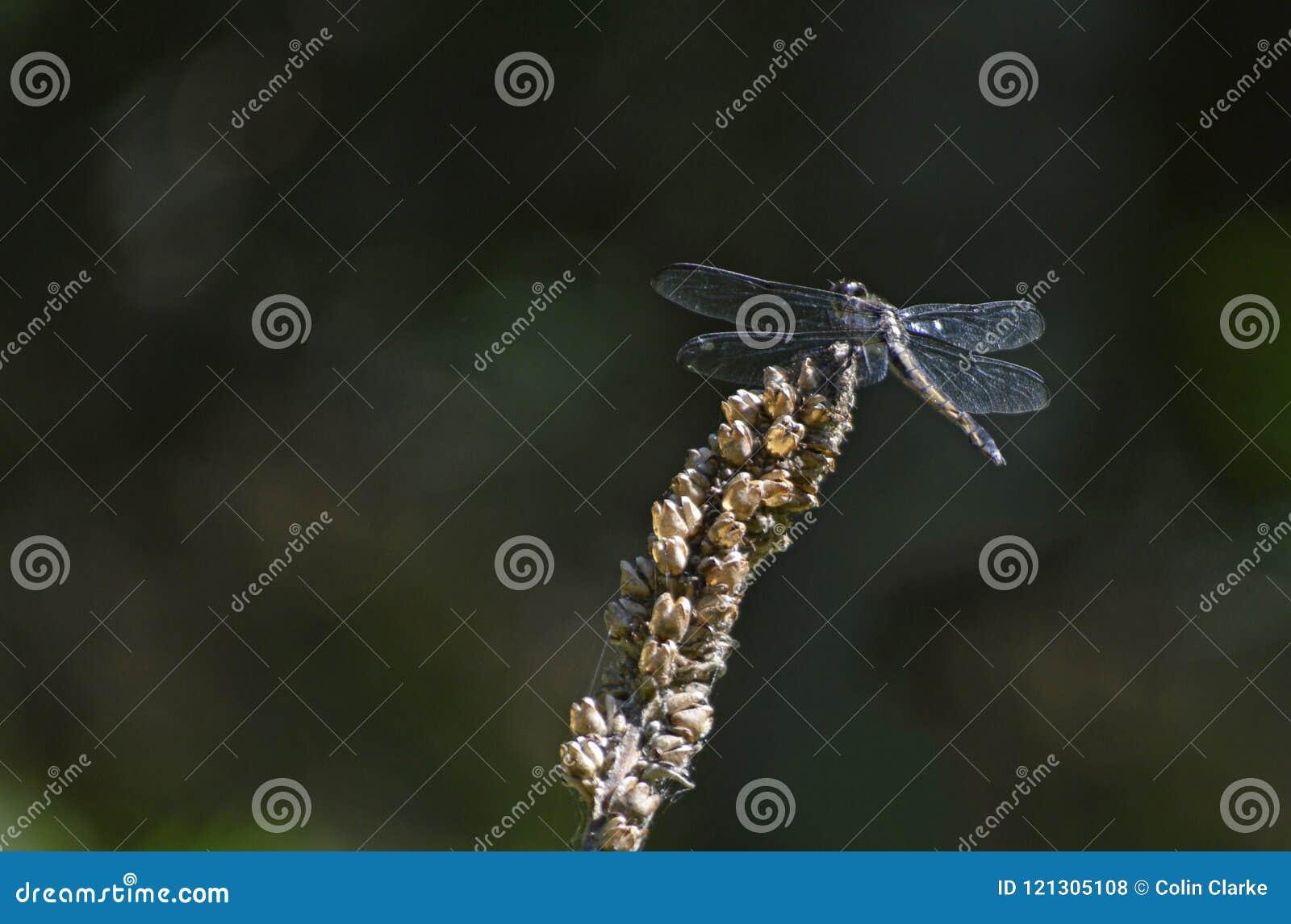 Dragon Fly em uma planta