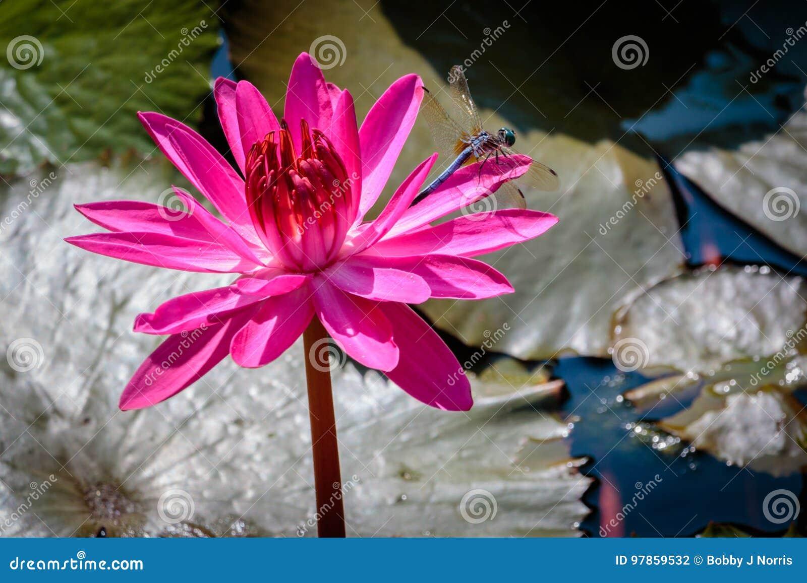 Dragon Fly op een Roze Waterlelie