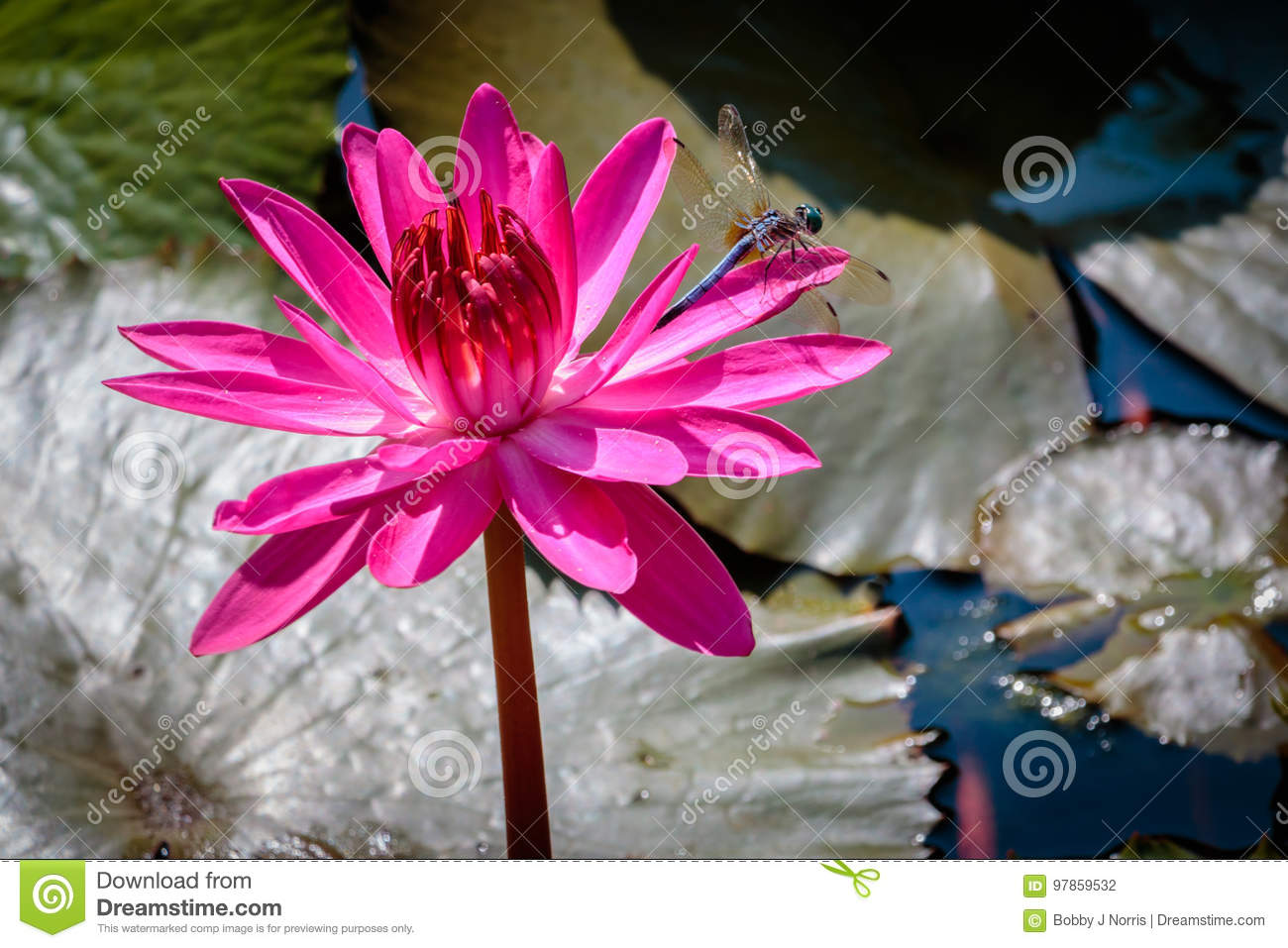 Dragon Lily Stock Photos Royalty Free Pictures