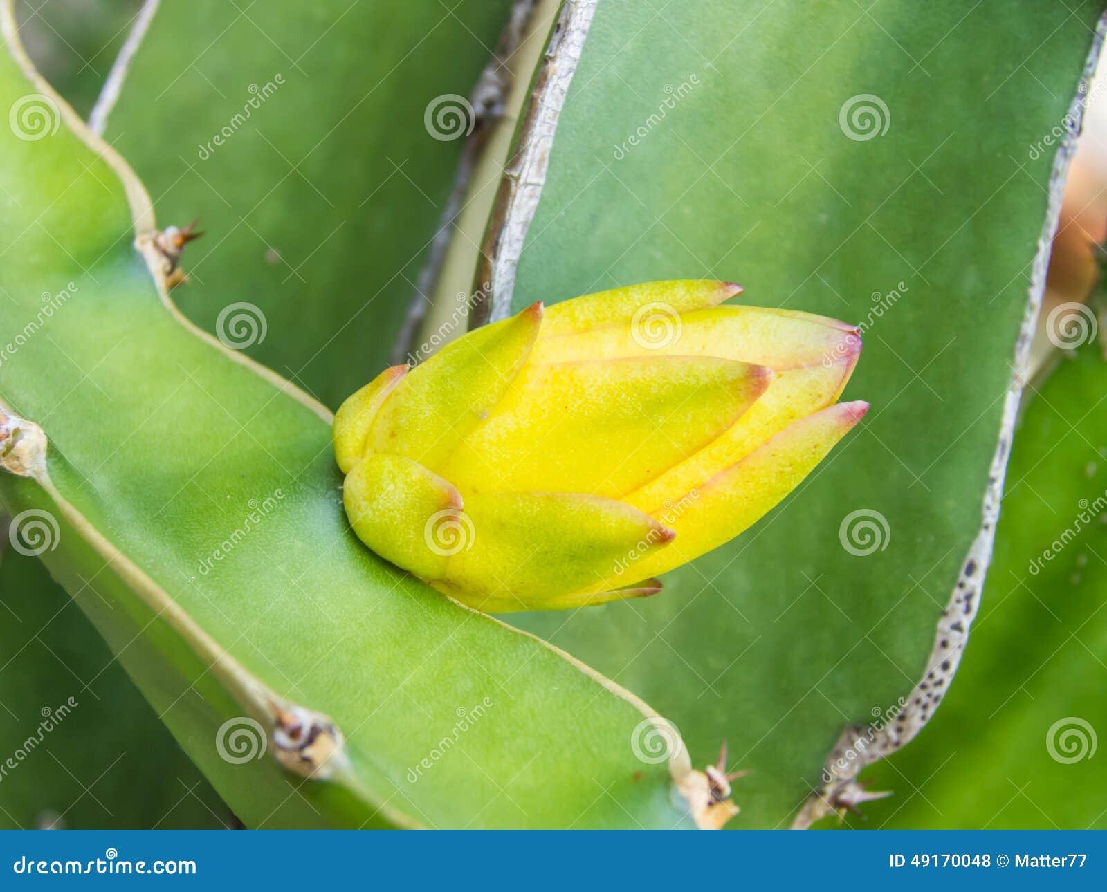 Dragon Fruit Baby Blossom