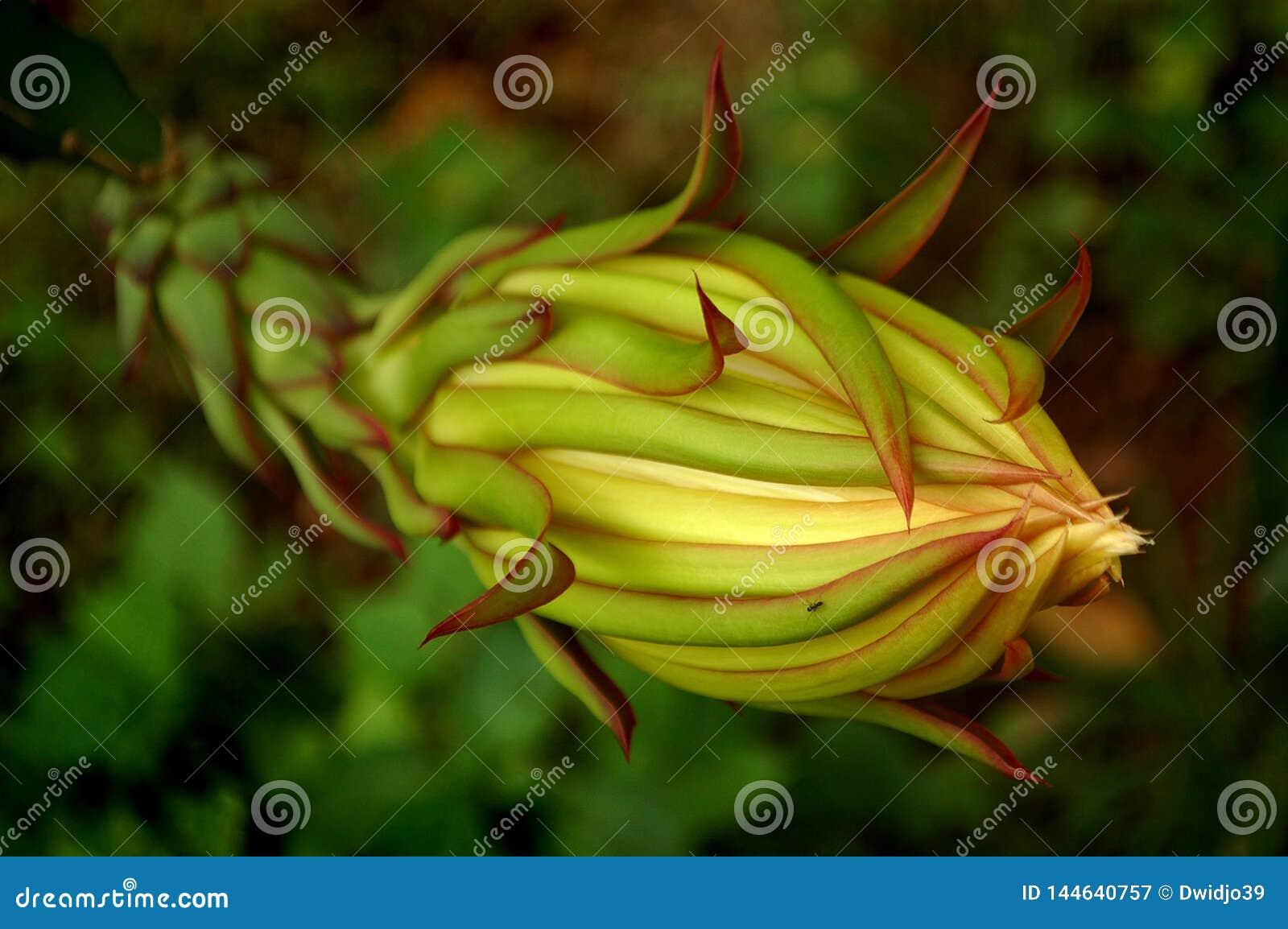 Dragon Fruit Flower Close upp