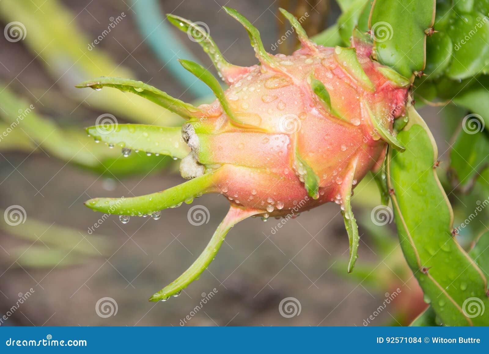 Dragon Fruit sull albero dopo pioggia