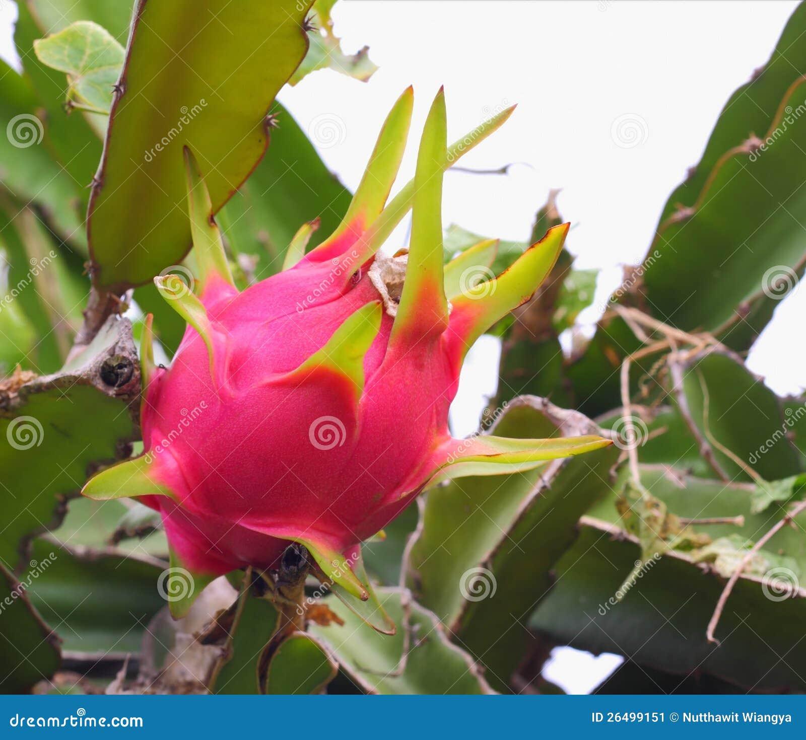 dragon fruit tree turbo fruits