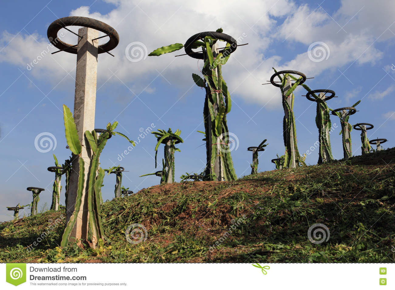 Dragon Fruit Trees Stock Photo Image Of Environment