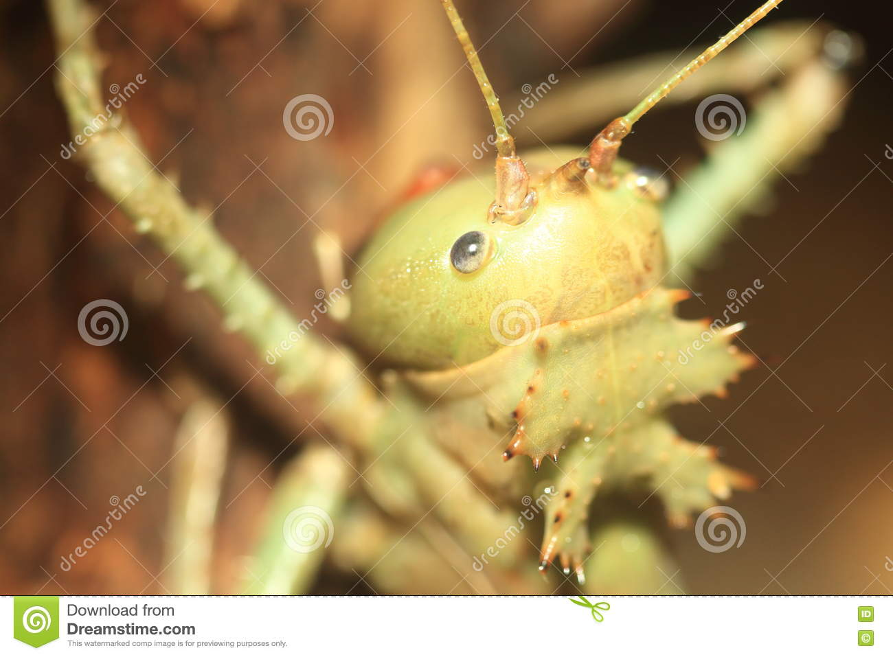 Dragon head cricket