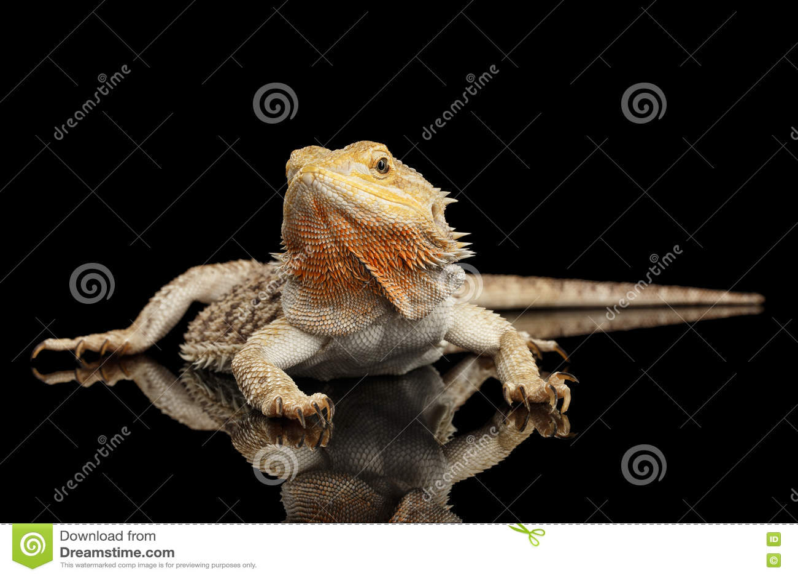 Dragon Llizard Lying farpado no espelho, fundo preto isolado