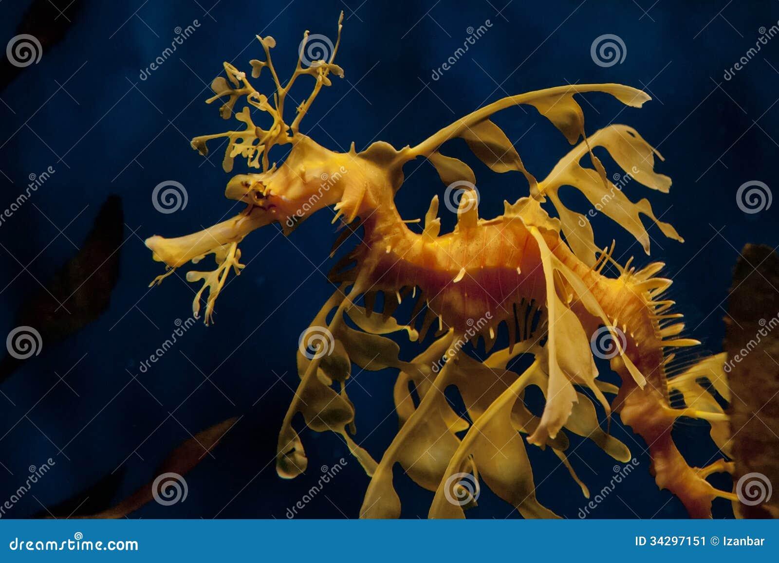 Dragon Sea Horse