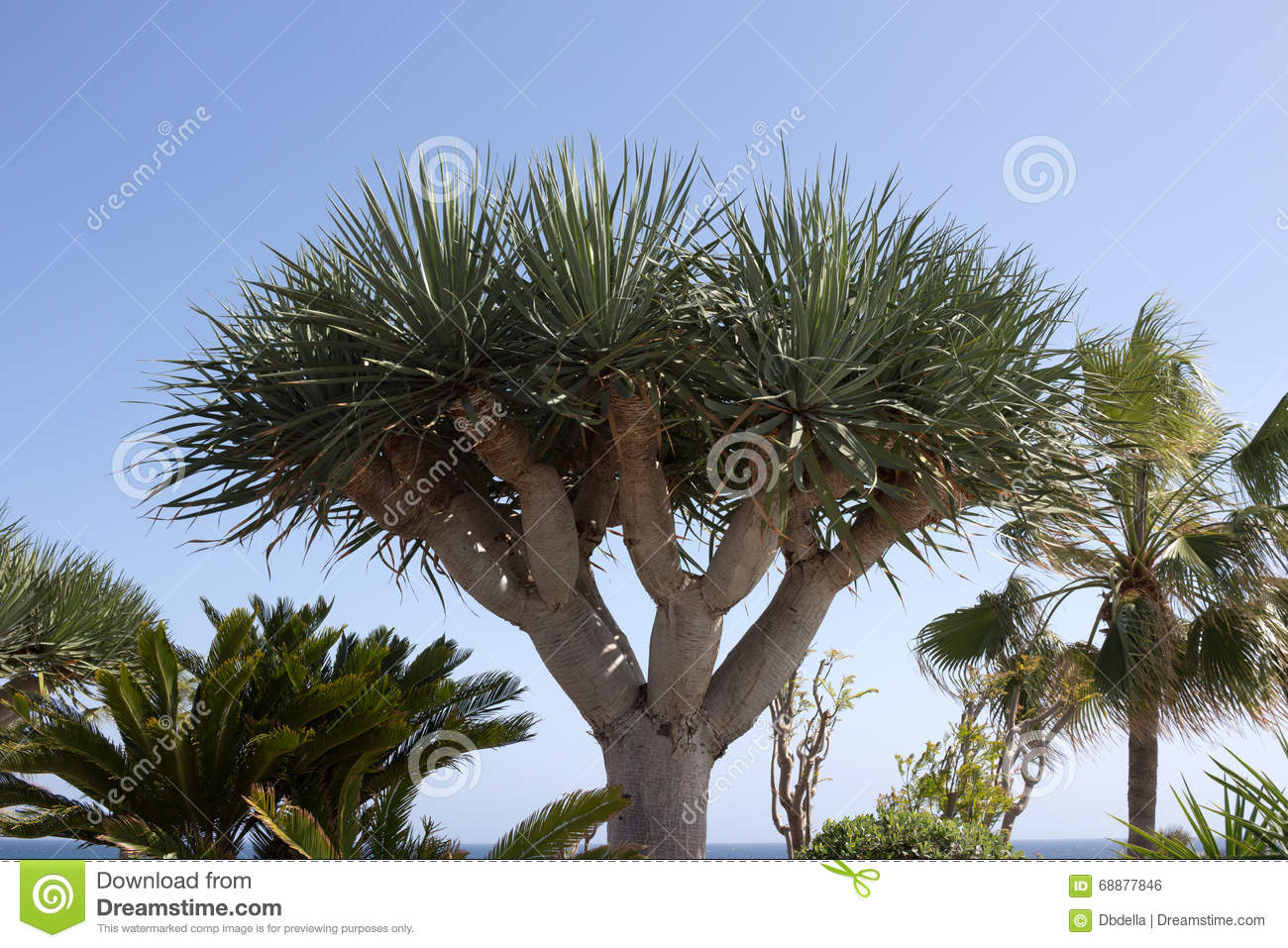 dragon tree dracaena draco and palm tree in lanzarote spain stock photo image 68877846. Black Bedroom Furniture Sets. Home Design Ideas