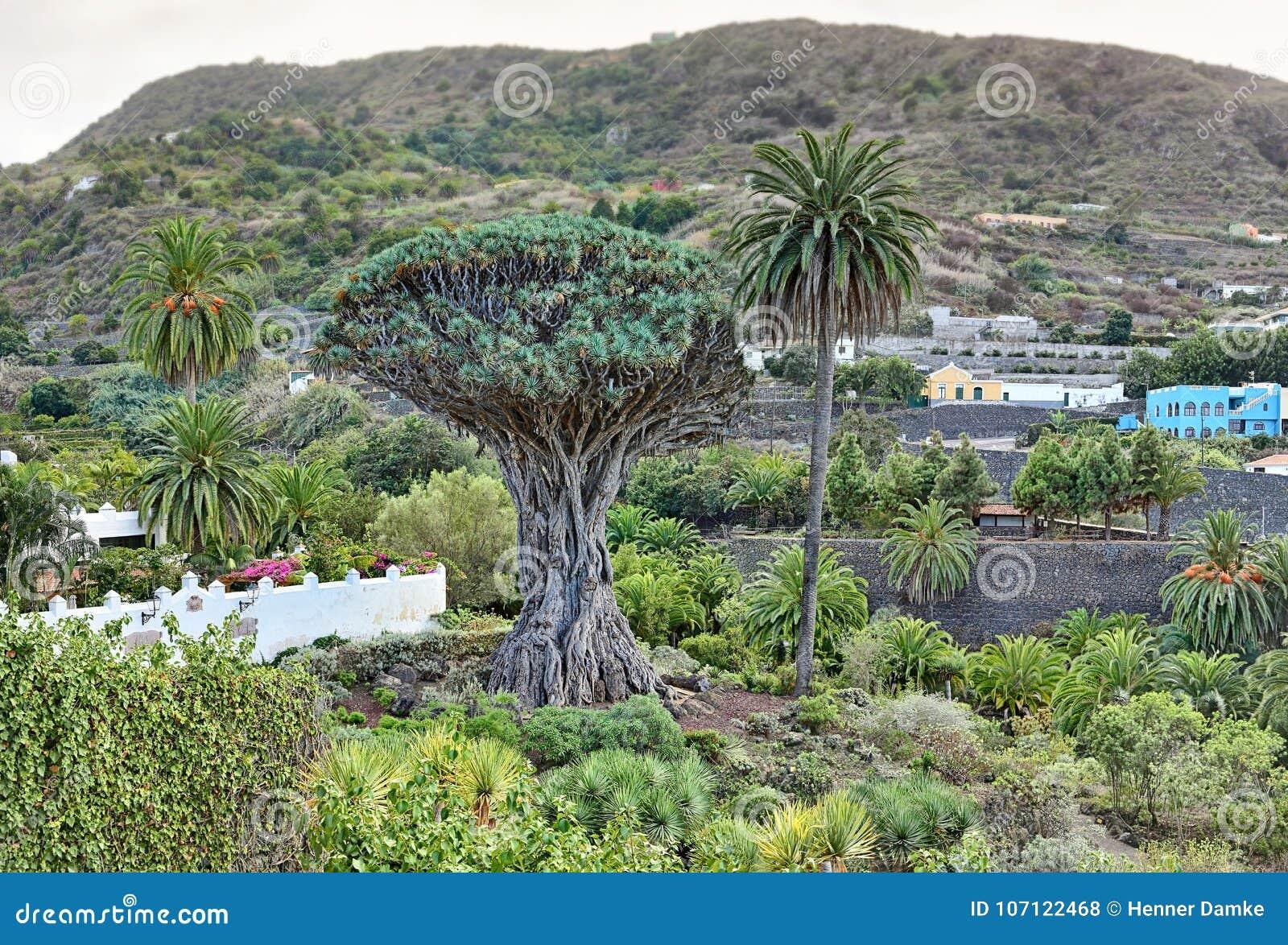 Dragon Tree Drago Milenario famoso em Icod de los Vinos - Tenerife