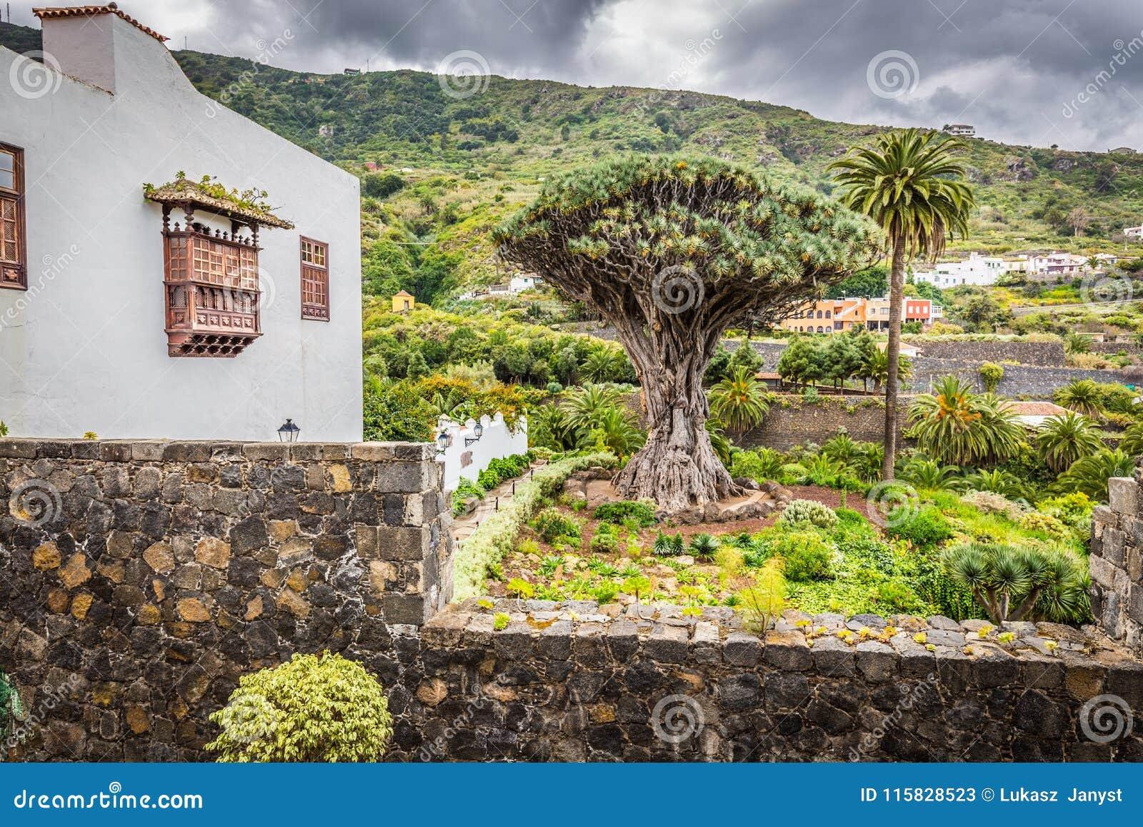 Dragon Tree Drago Milenario famoso em Icod de los Vinos Tenerife