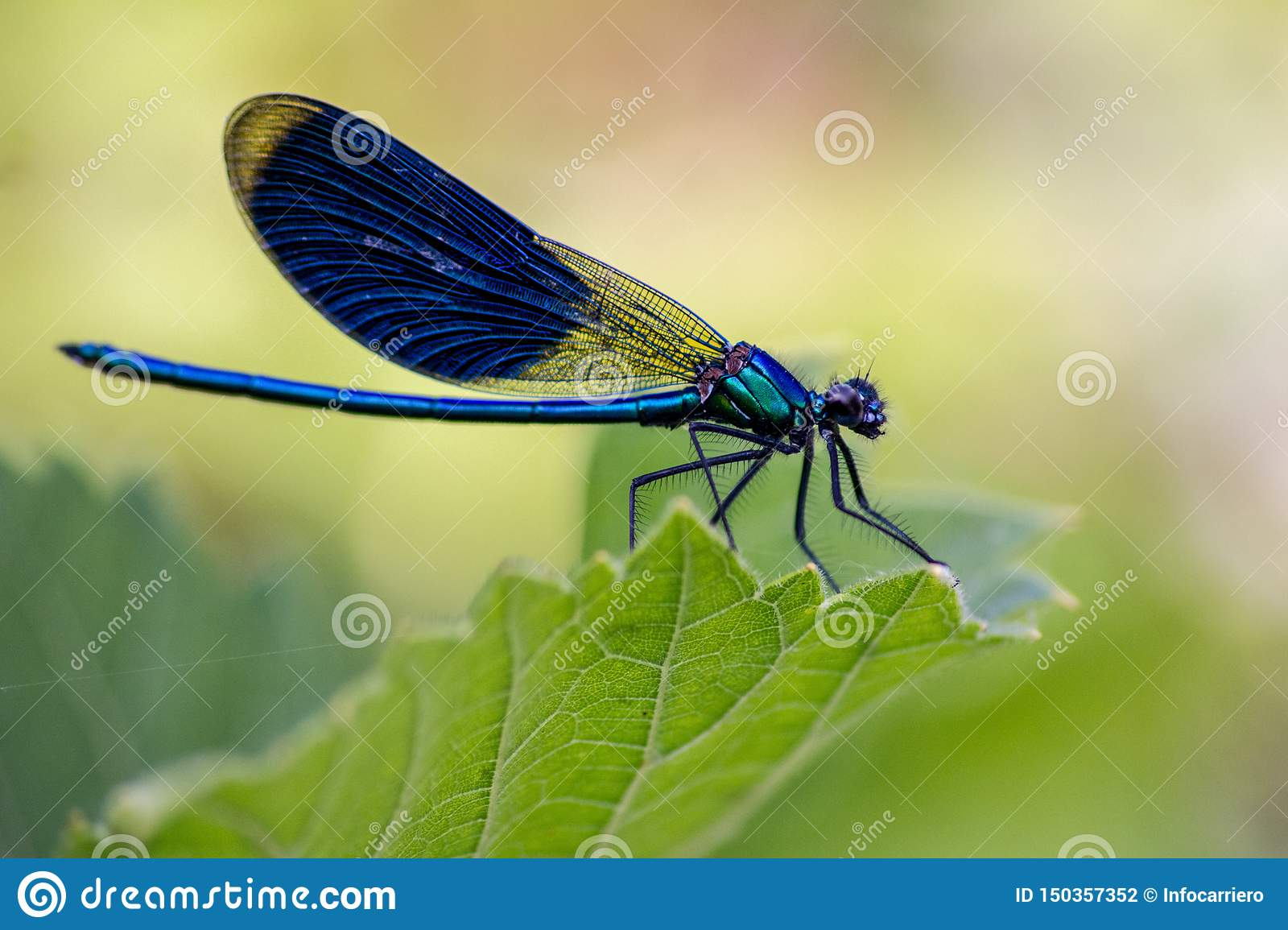 The dragonflies have a very voluminous head, the eyes made up of about 50,000 ommatidia and relatively short antennae; the two pai