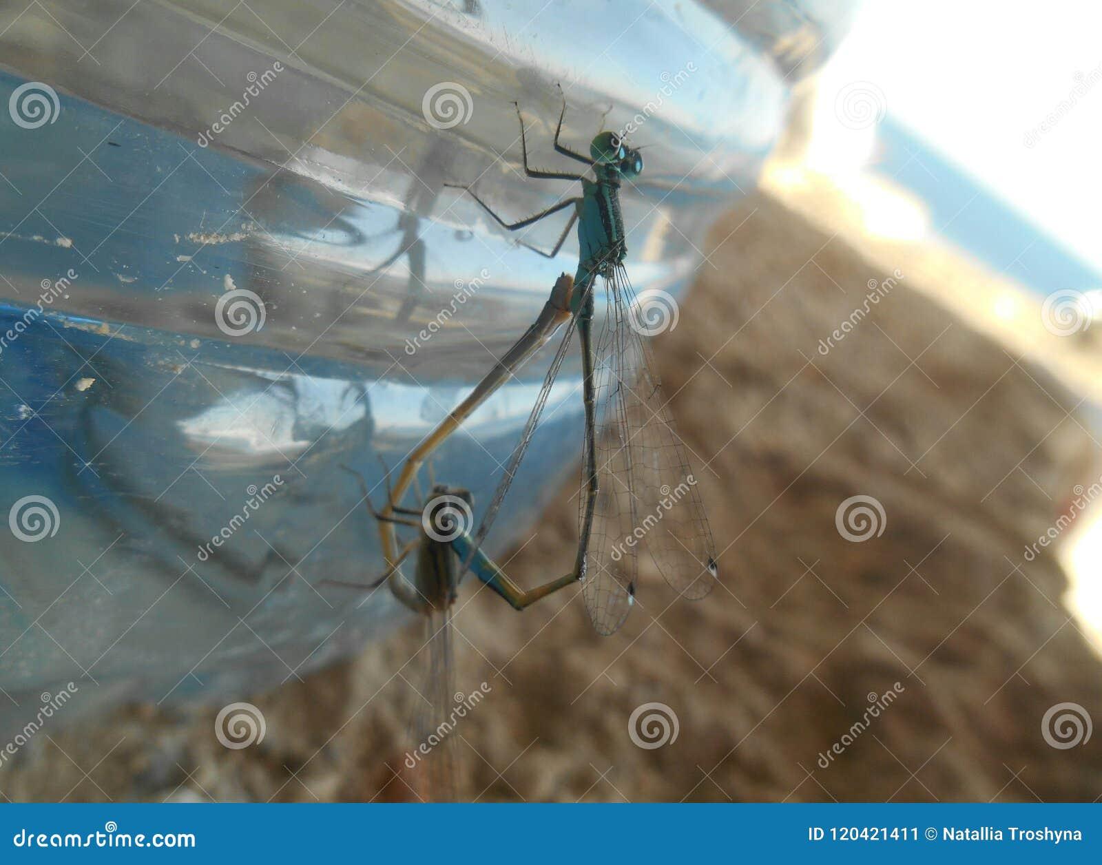 Dragonflies in love wild life