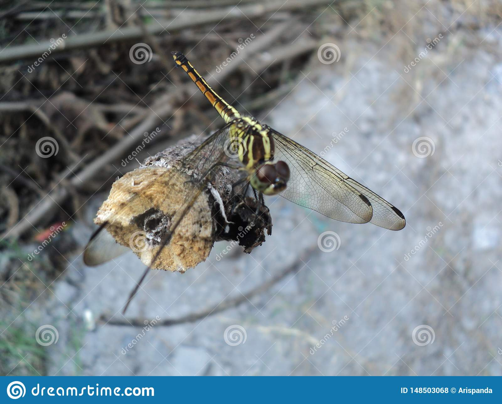 Dragonflies perched on wooden