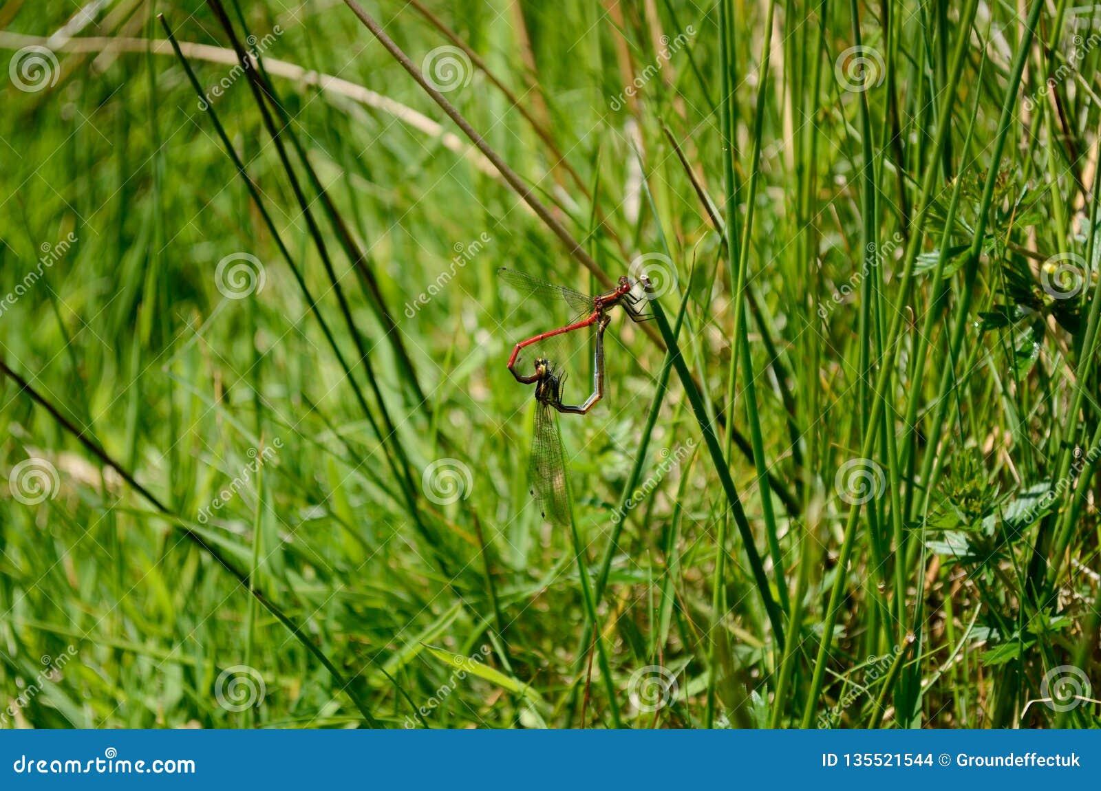 Dragonflies przylegają wpólnie na trawa trzonach, tworzy kształt serce