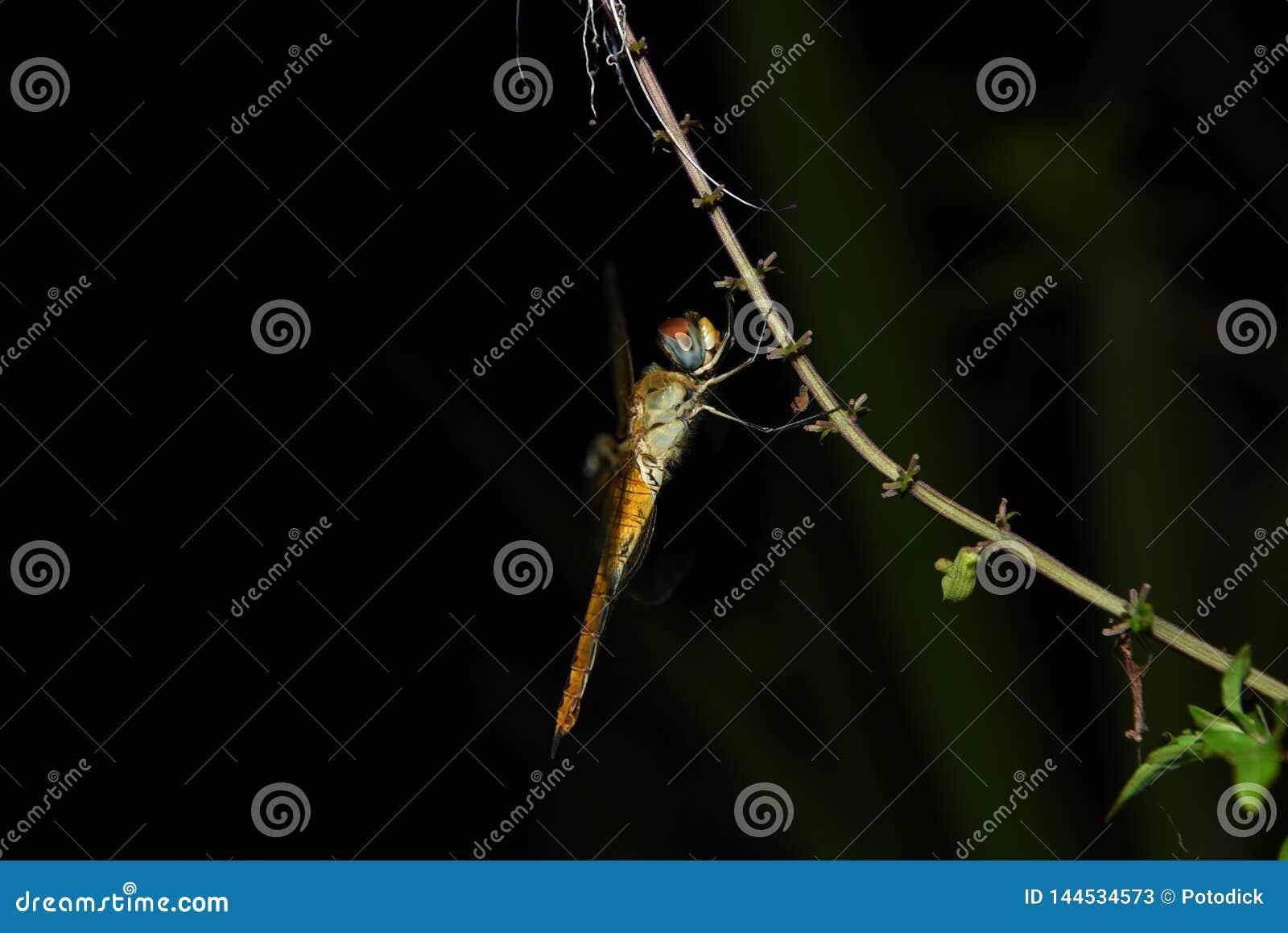 Dragonflies są czerwonawym kolorem żółtym