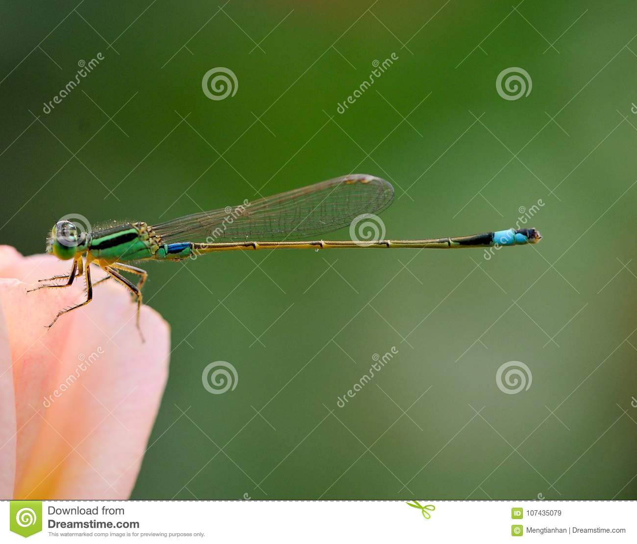 The Dragonflies stop in roses