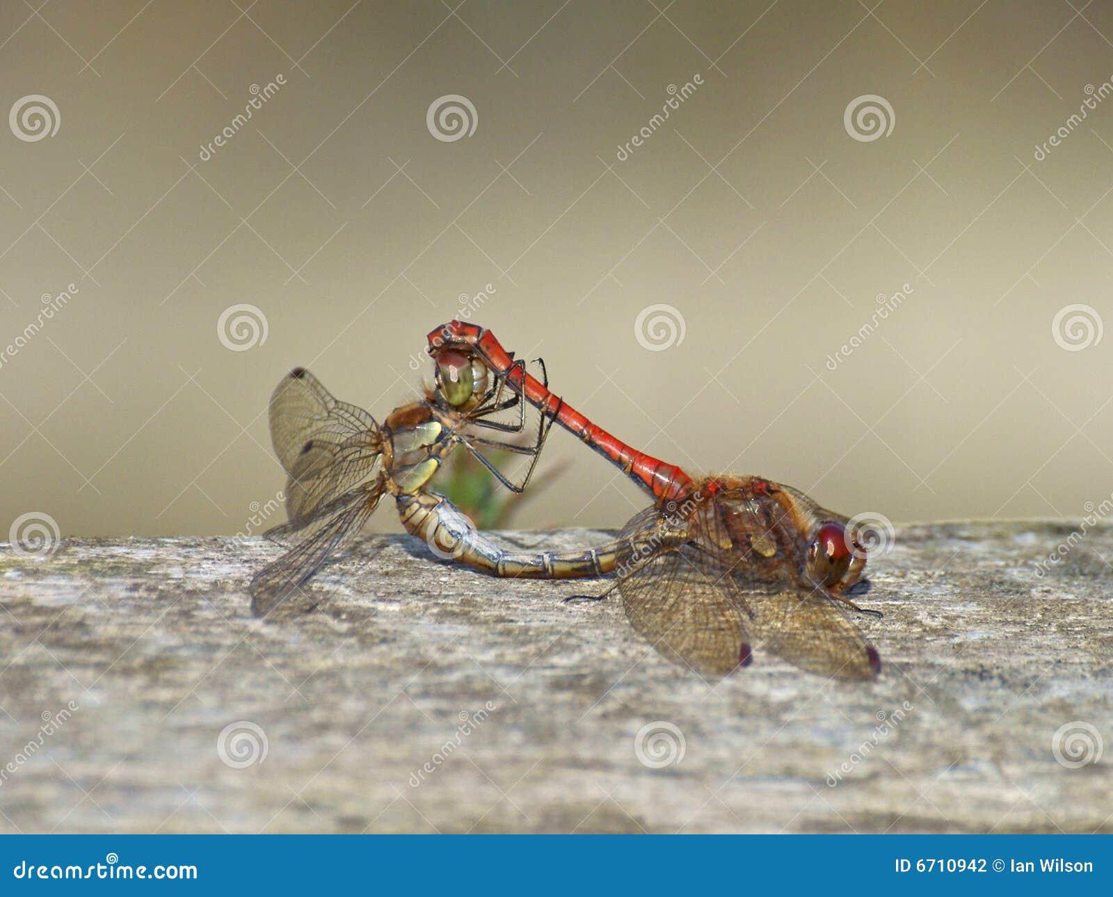 Dragonflies target96_1_