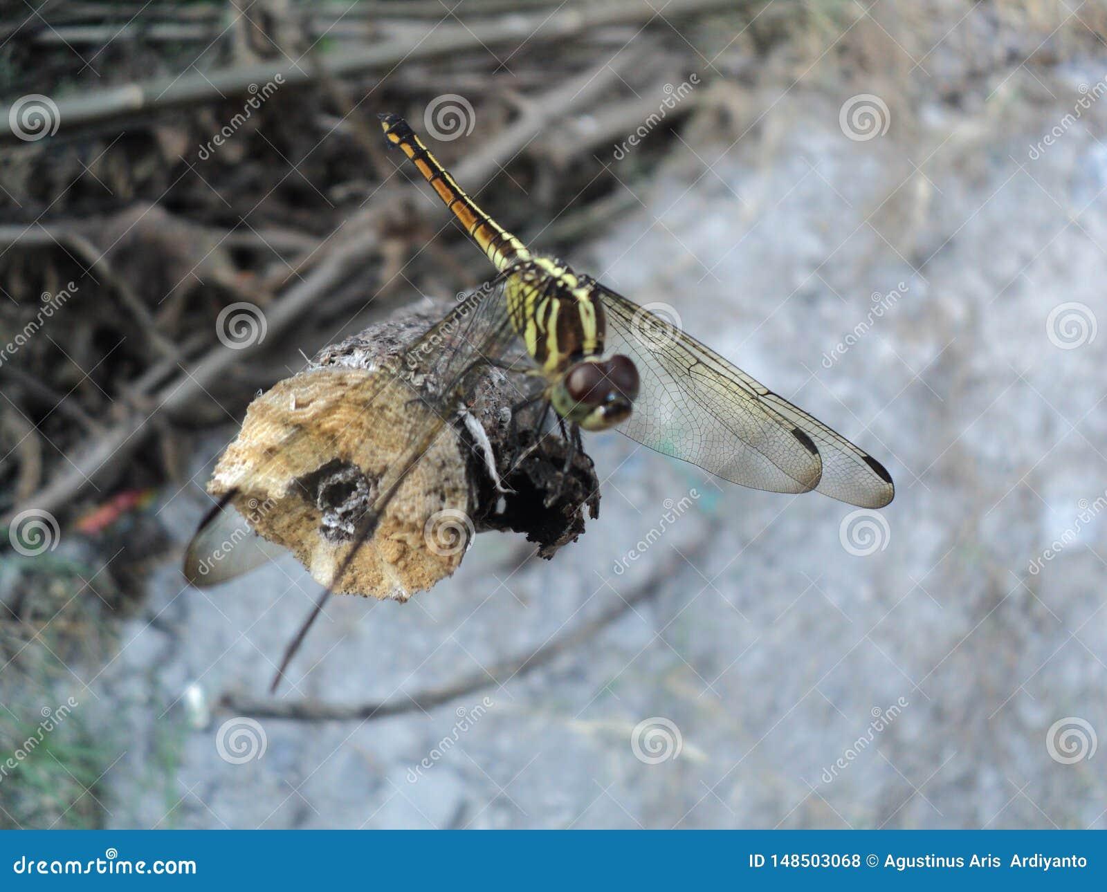 Dragonflies umieszczaj?cy na drewnianym