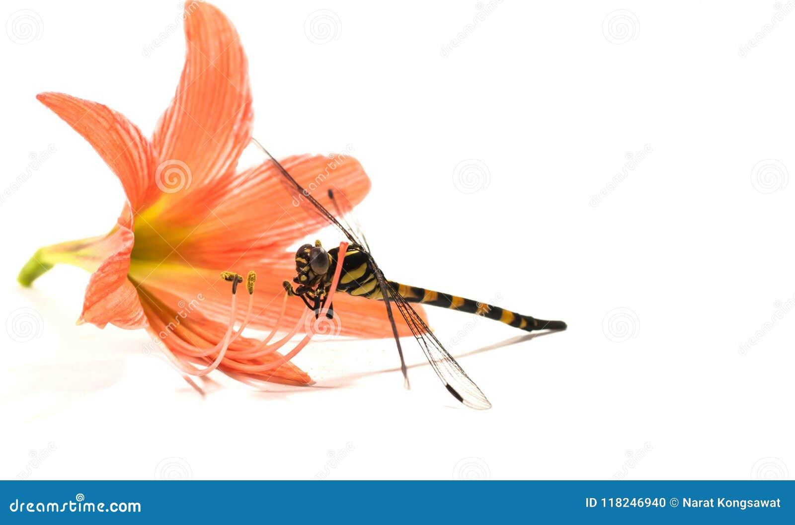 Dragonfly, белая предпосылка, еда насекомого