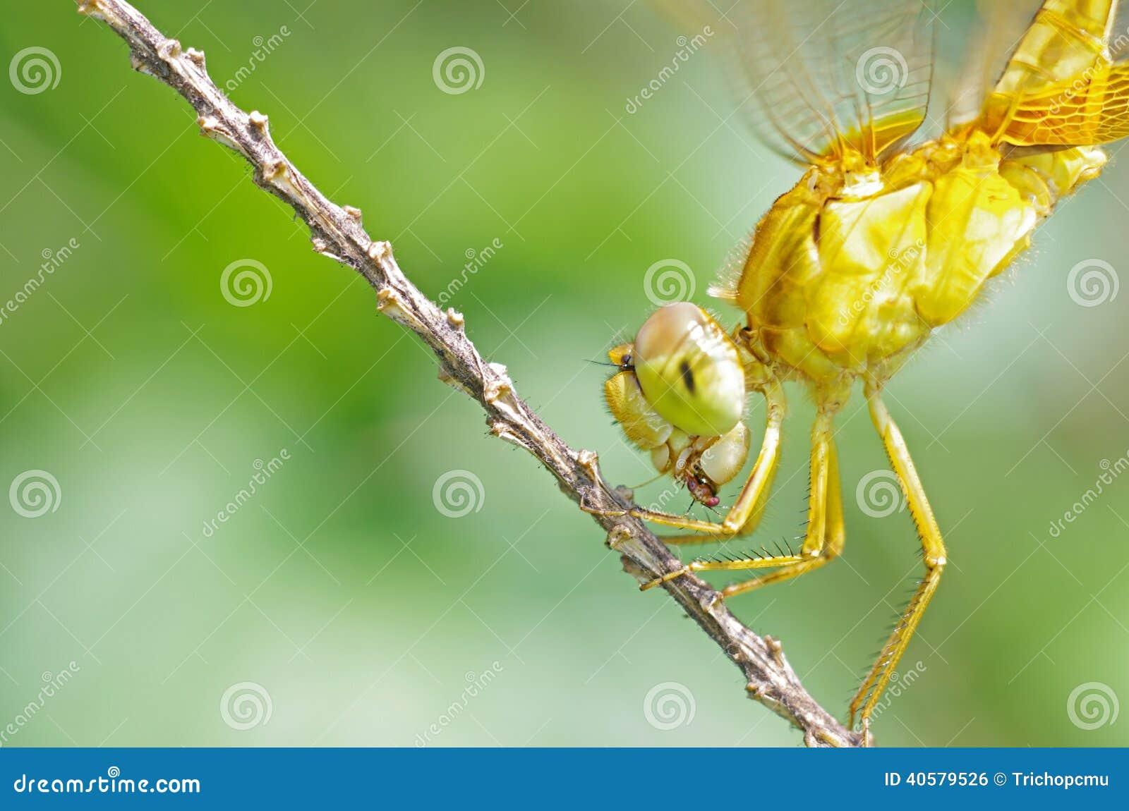 Dragonfly жуя добычу