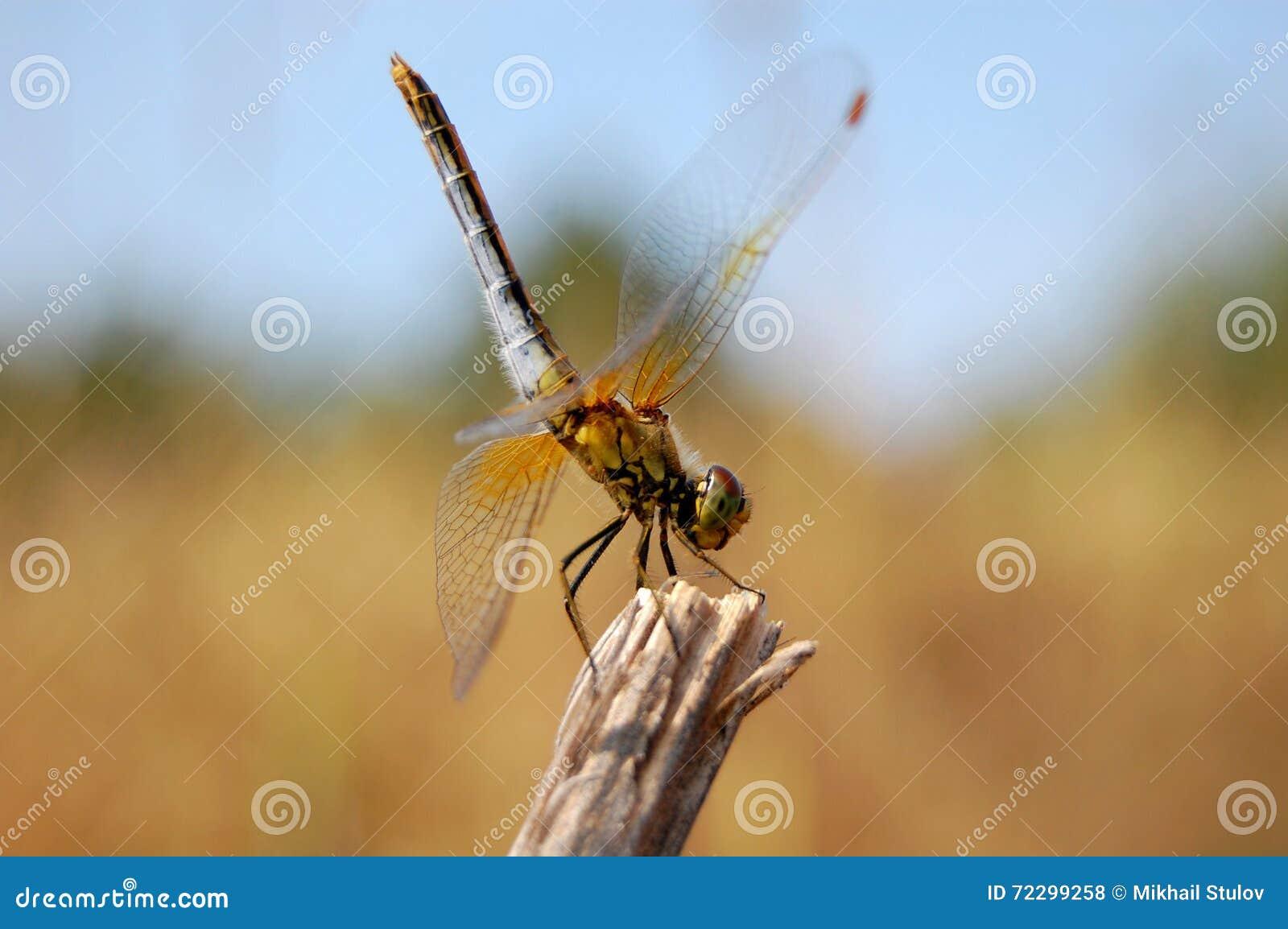 Download Dragonfly сидя на ветви стоковое фото. изображение насчитывающей насекомые - 72299258