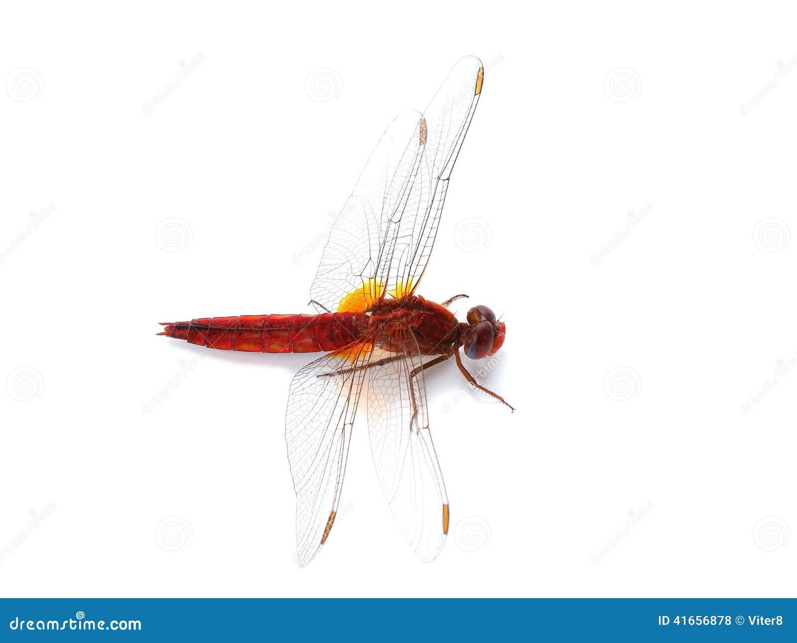 Dragonfly шарлаха (erythraea Crocothemis) изолированный на белизне