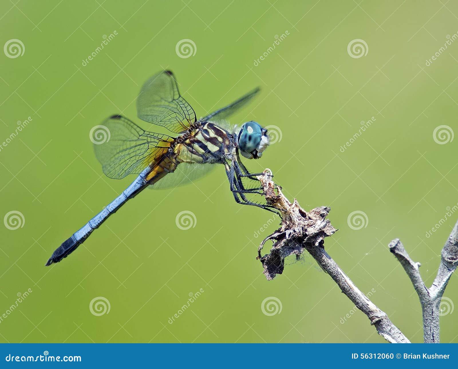 Dragonfly Blue Dasher