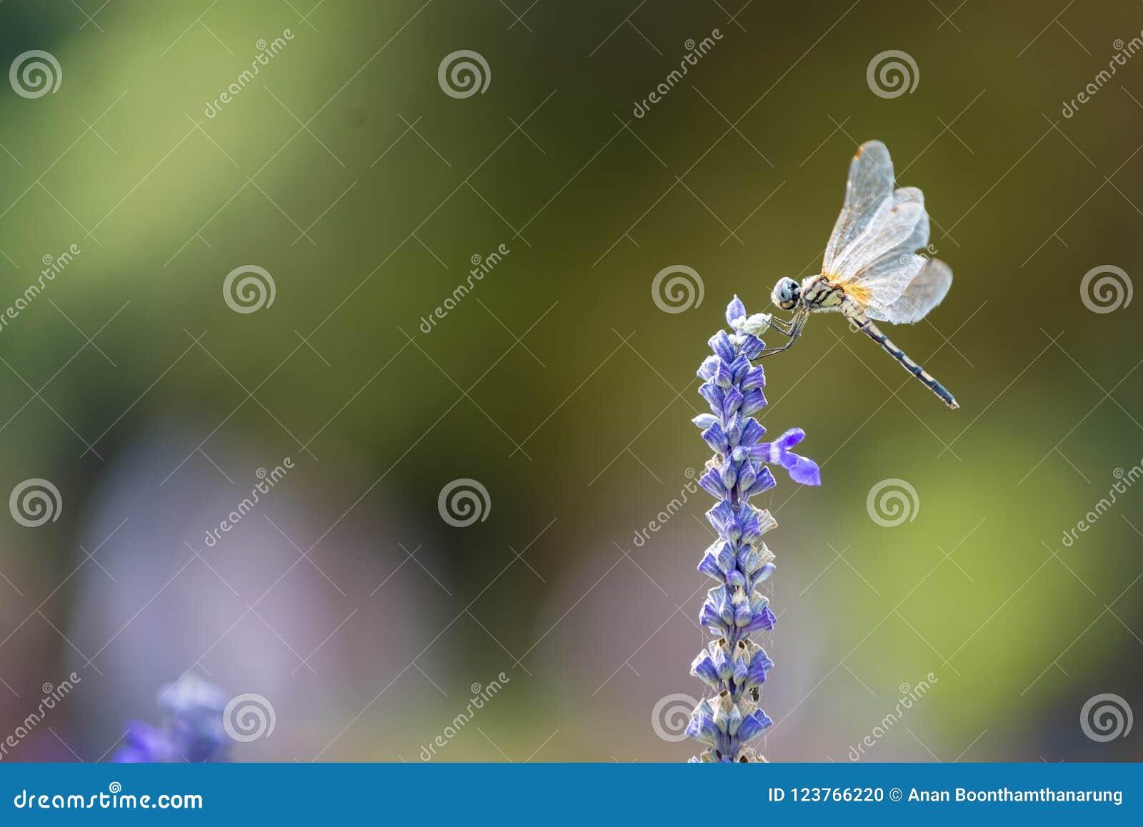 Dragonfly on Blue Salvia