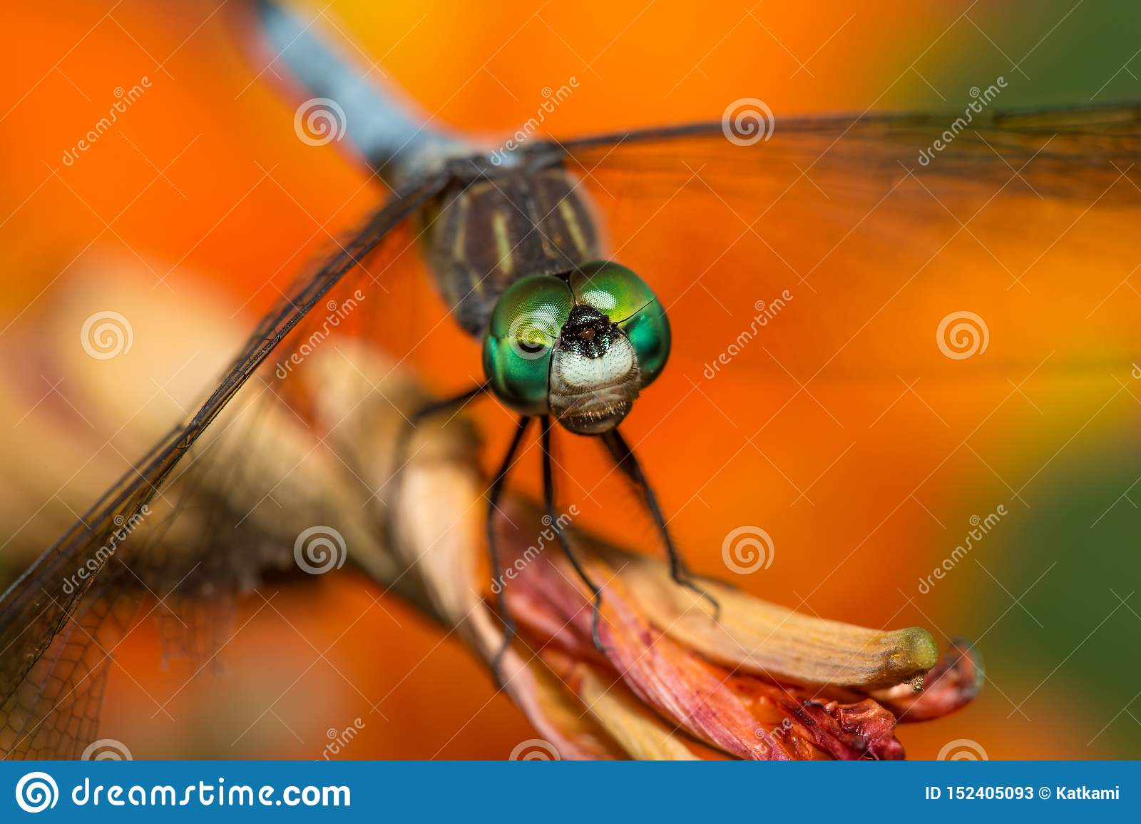Dragonfly with bright green eyes on orange flower