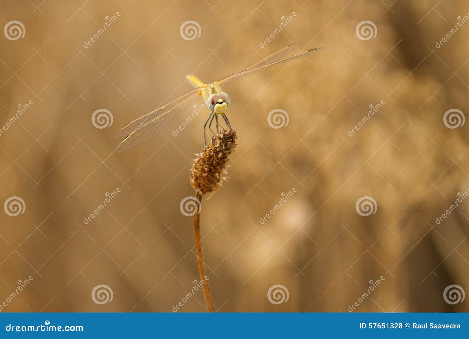 Dragonfly czekanie
