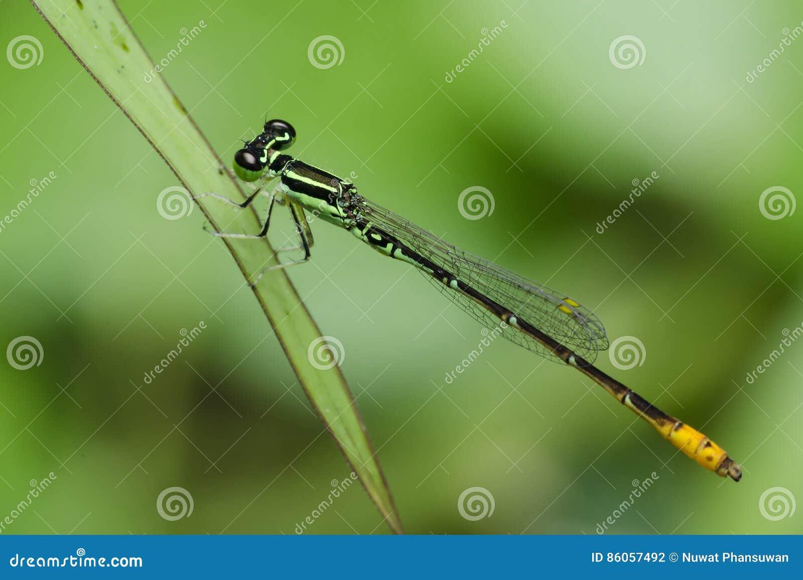 Dragonfly, Dragonflies Tajlandia Agriocnemis minima