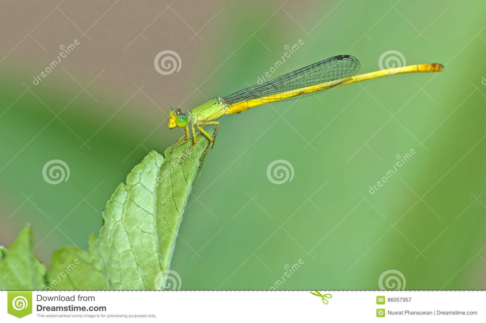 Dragonfly, Dragonflies Tajlandia Ceriagrion indochinense
