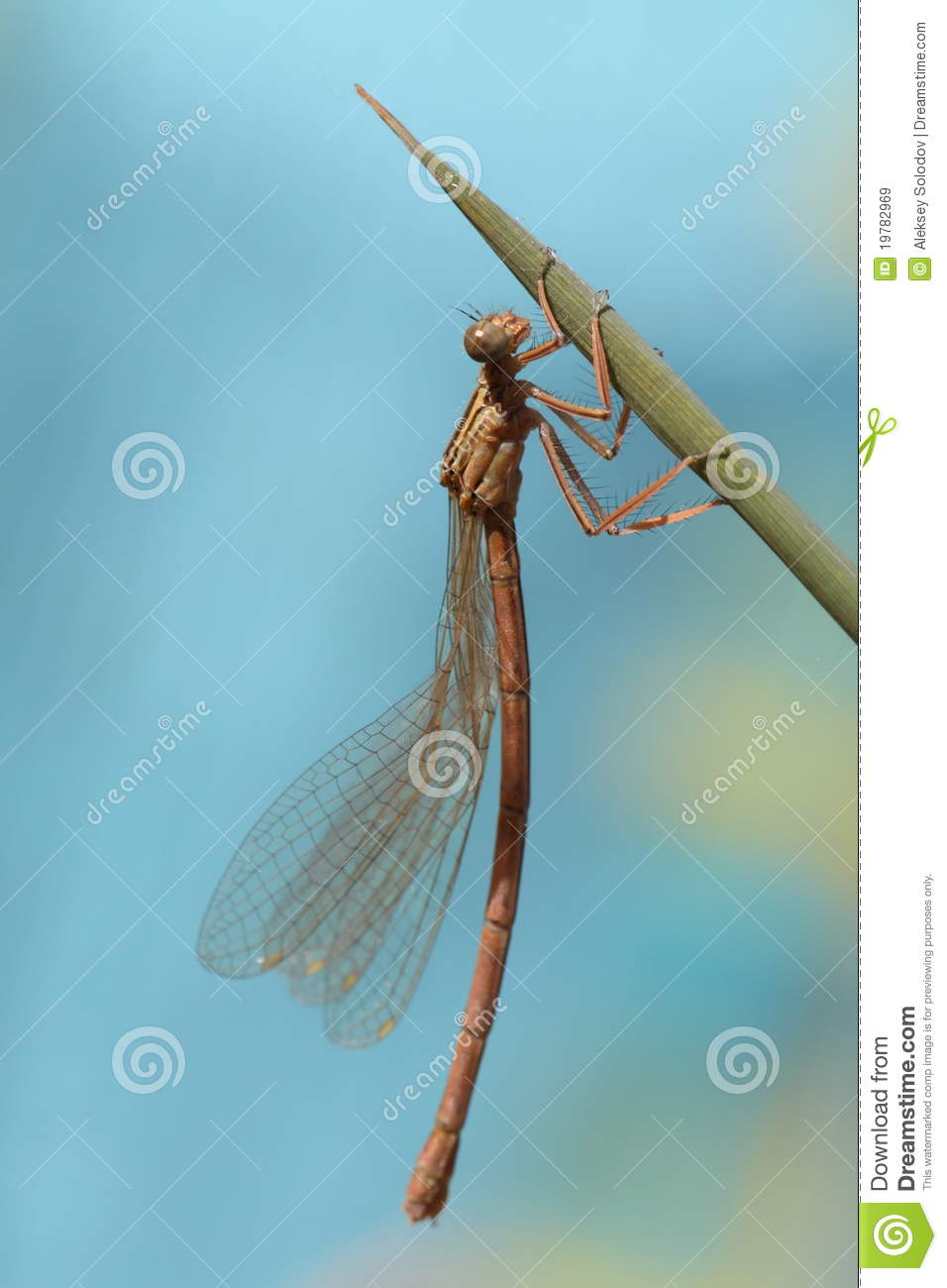 Dragonfly drying its young wings