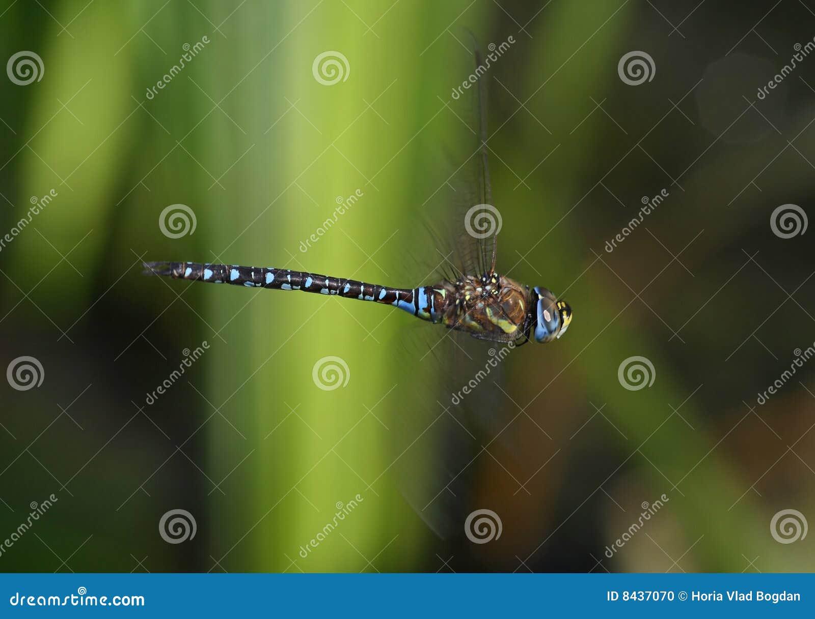 Dragonfly in flight - Migrant hawker