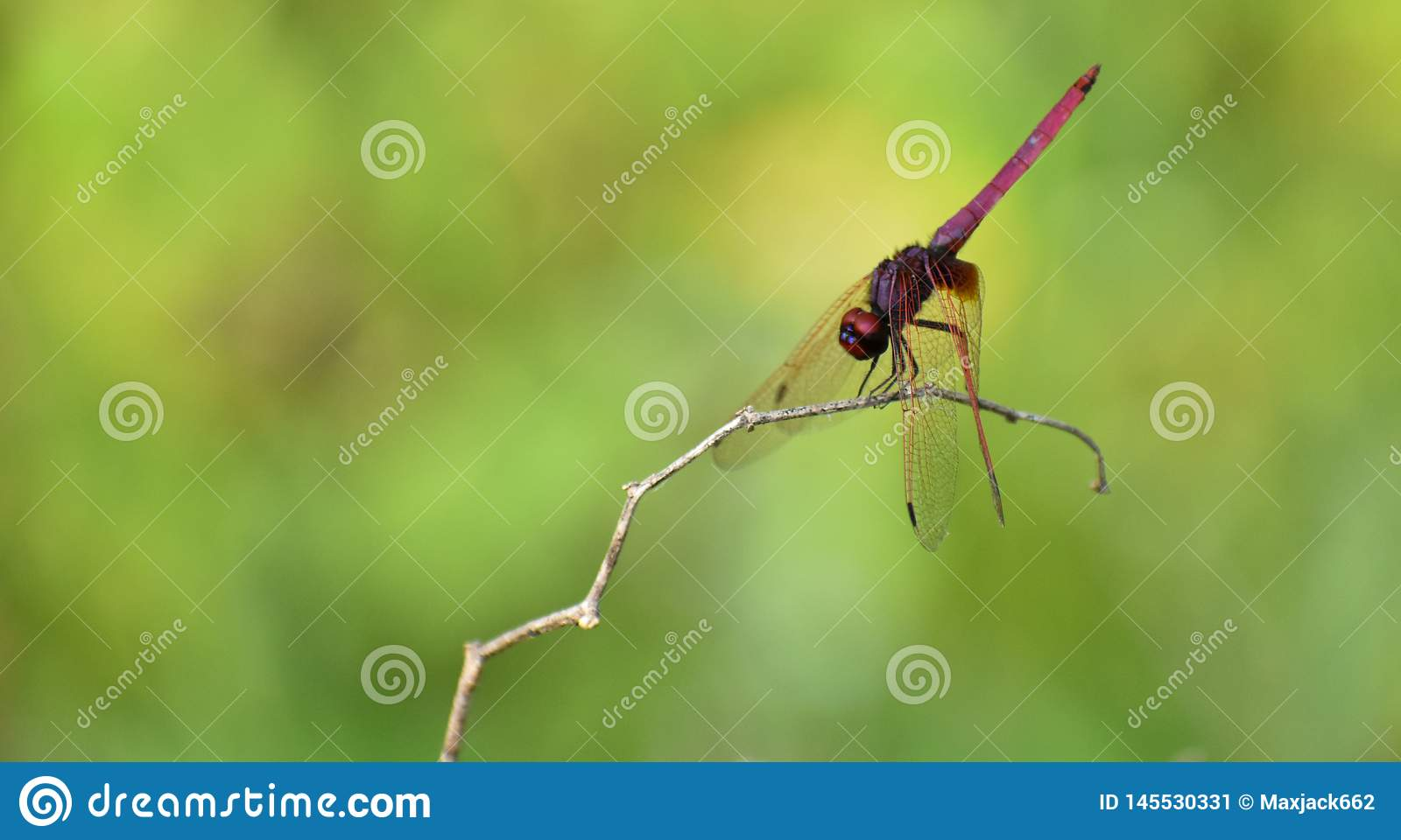 Red dragonfly with green background