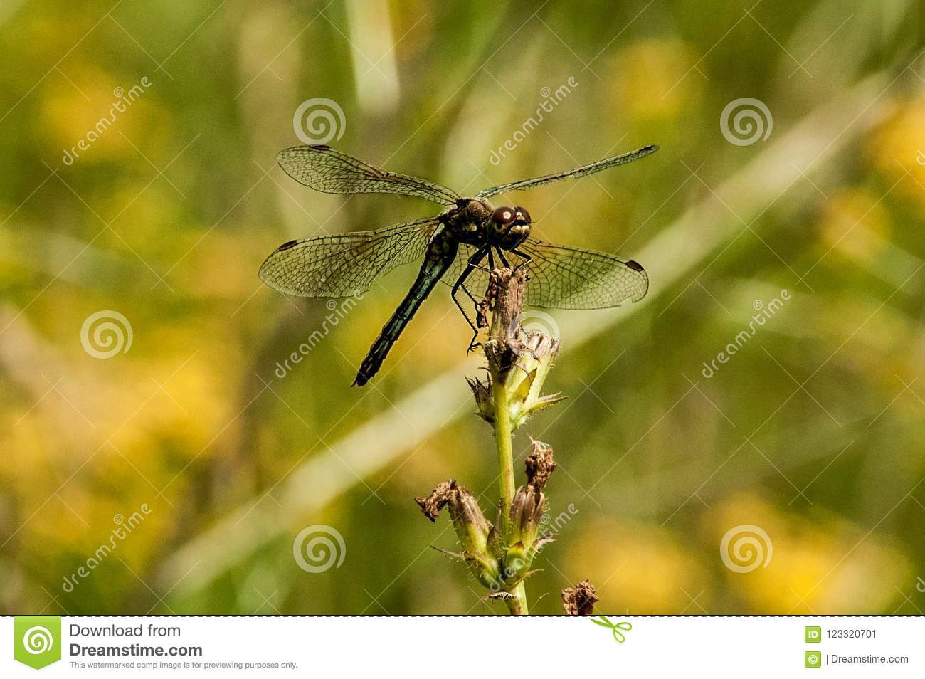 Dragonfly stock image  Image of insect, hexapod, wings