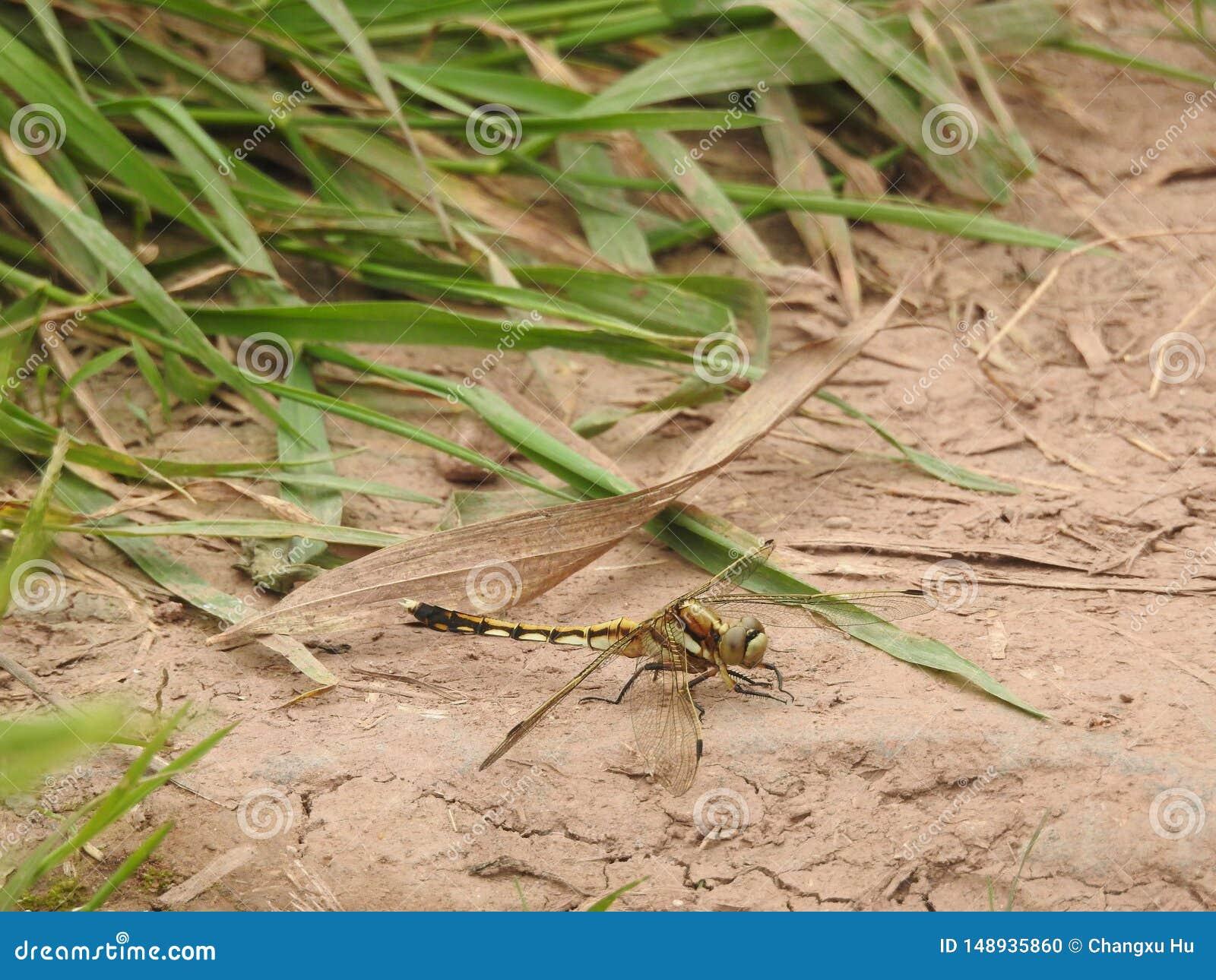 Dragonfly insekta ziemi bambusa liście