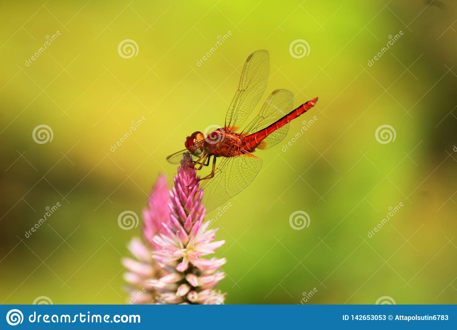 Dragonfly landing on top flower