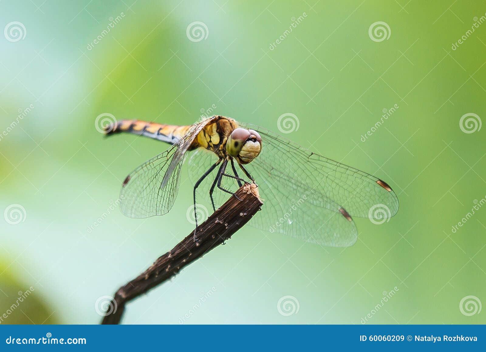 Dragonfly, Macro. St