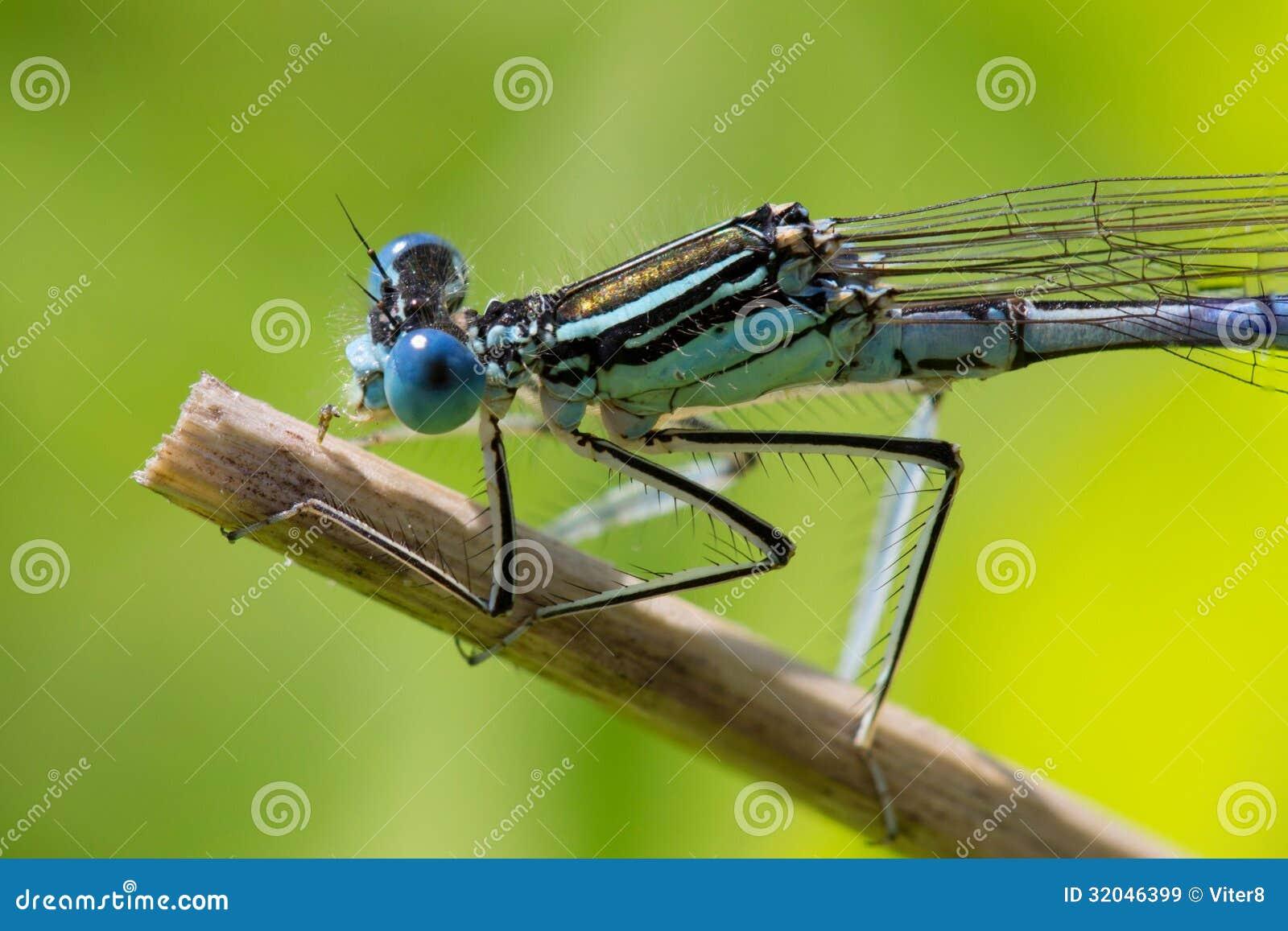 Dragonfly. Macro Roy