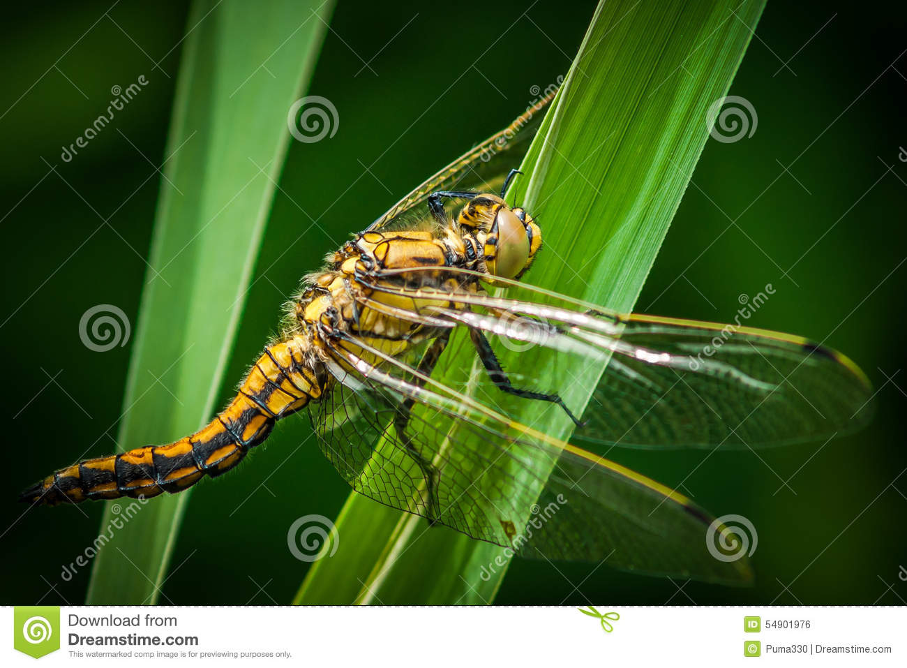 Dragonfly-macro Stoc