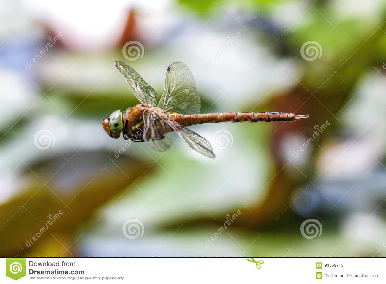 Dragonfly male