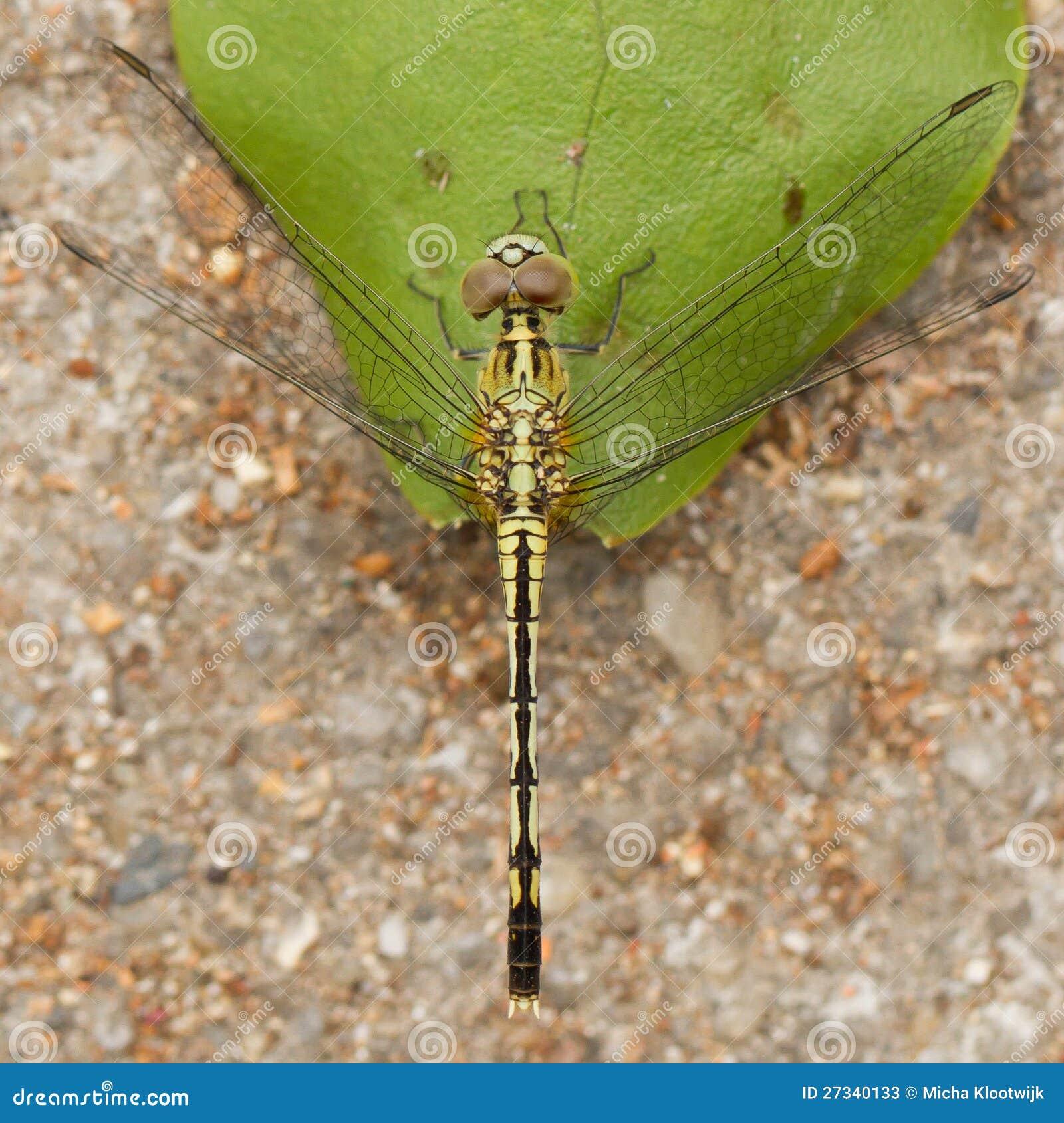 Dragonfly na liściu