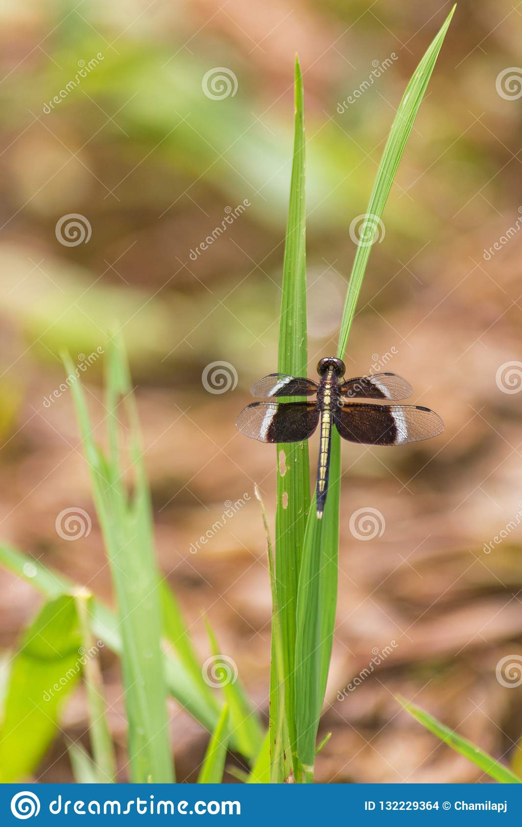 Dragonfly na zielonej trawie
